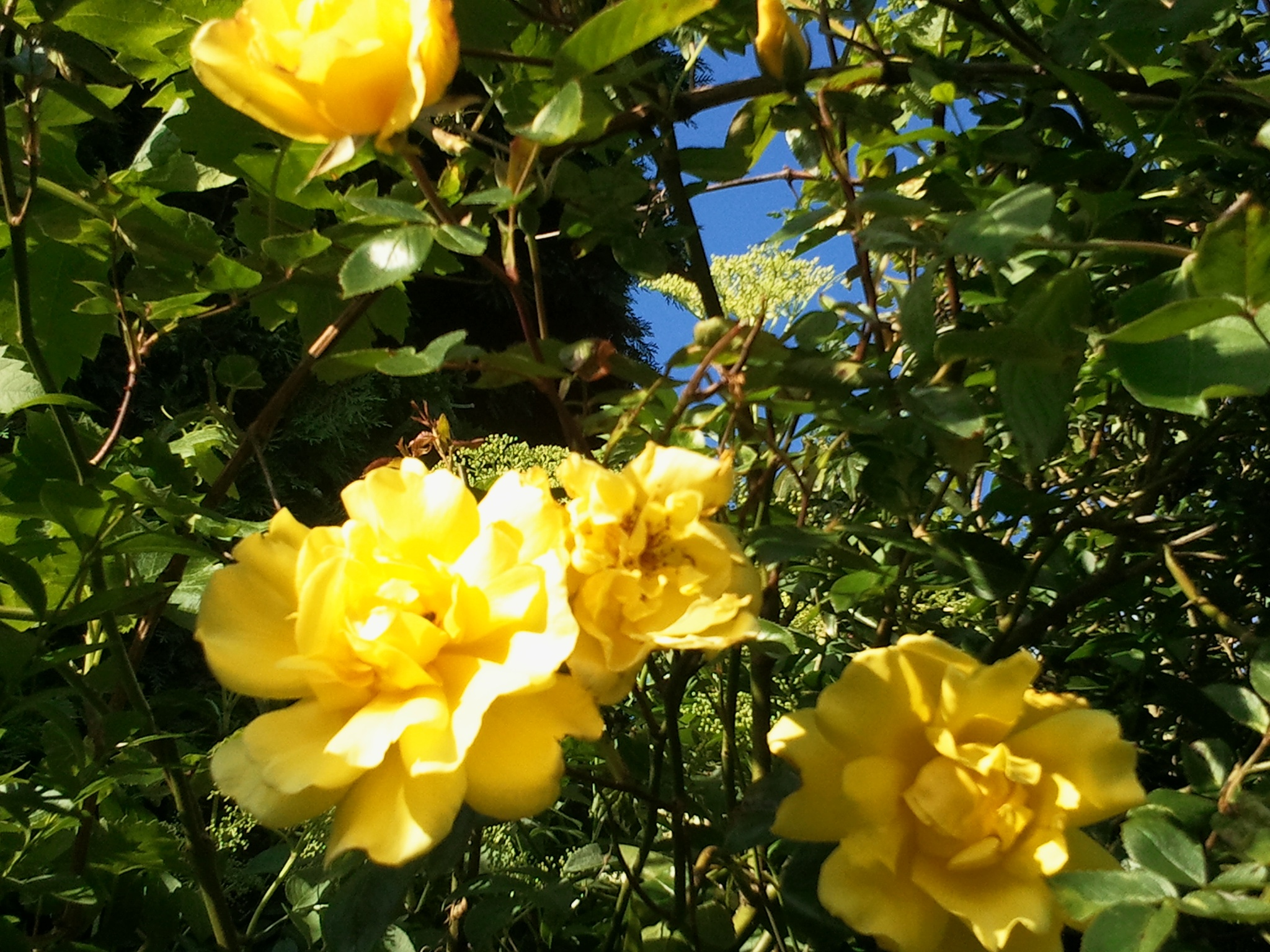 Yellow Roses by Reyhan K-Luttman