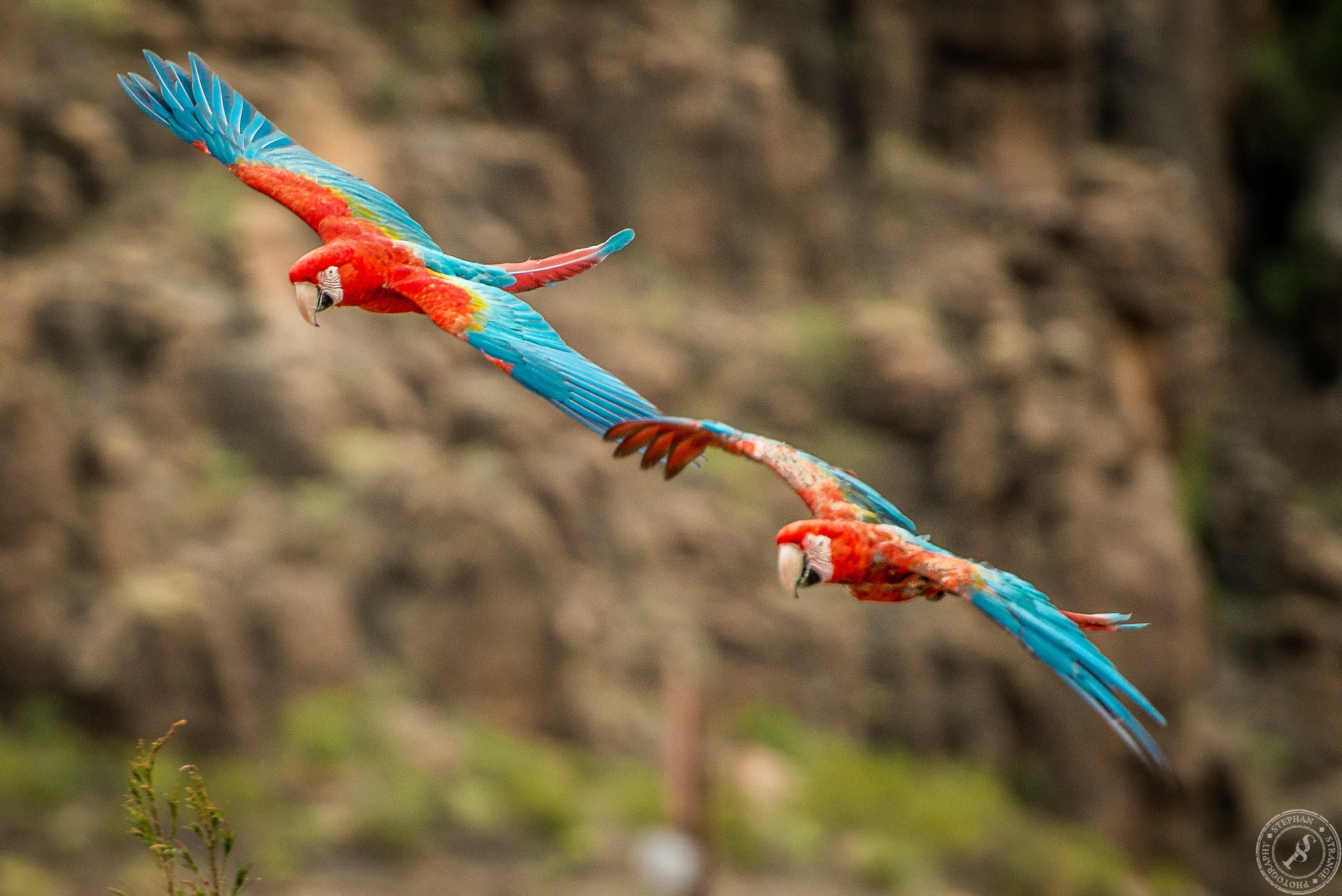 Two Parakeets in flight by StephanStrange