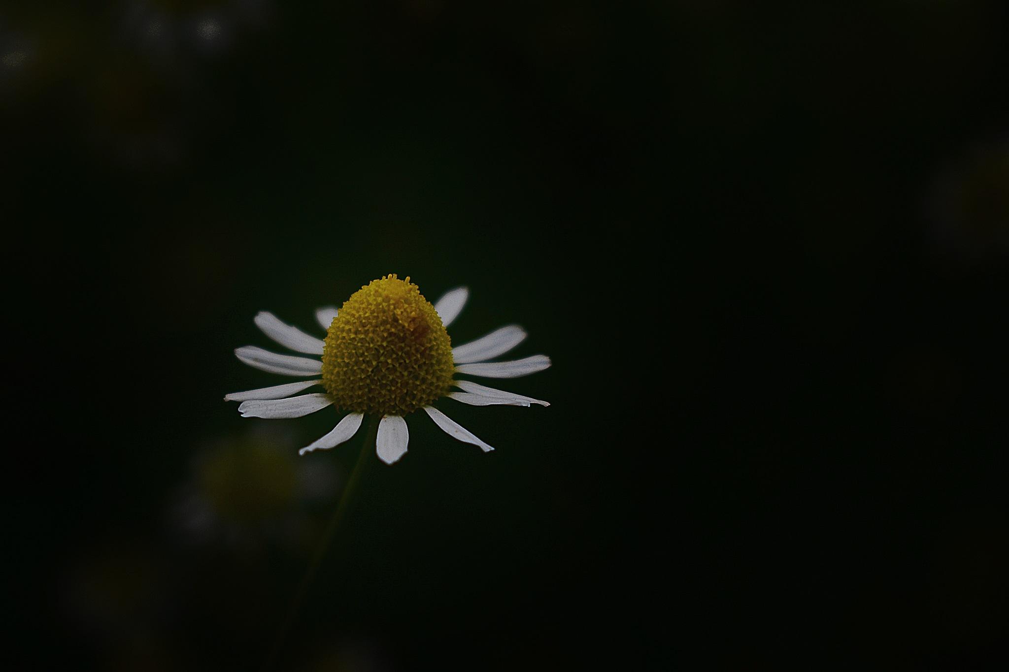 Daisy  by Lsb23