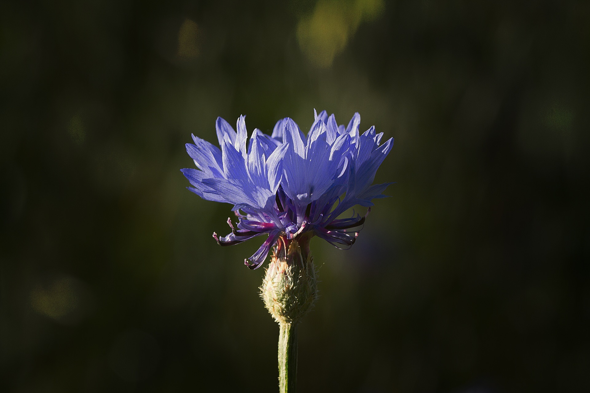 Cornflower  by Lsb23