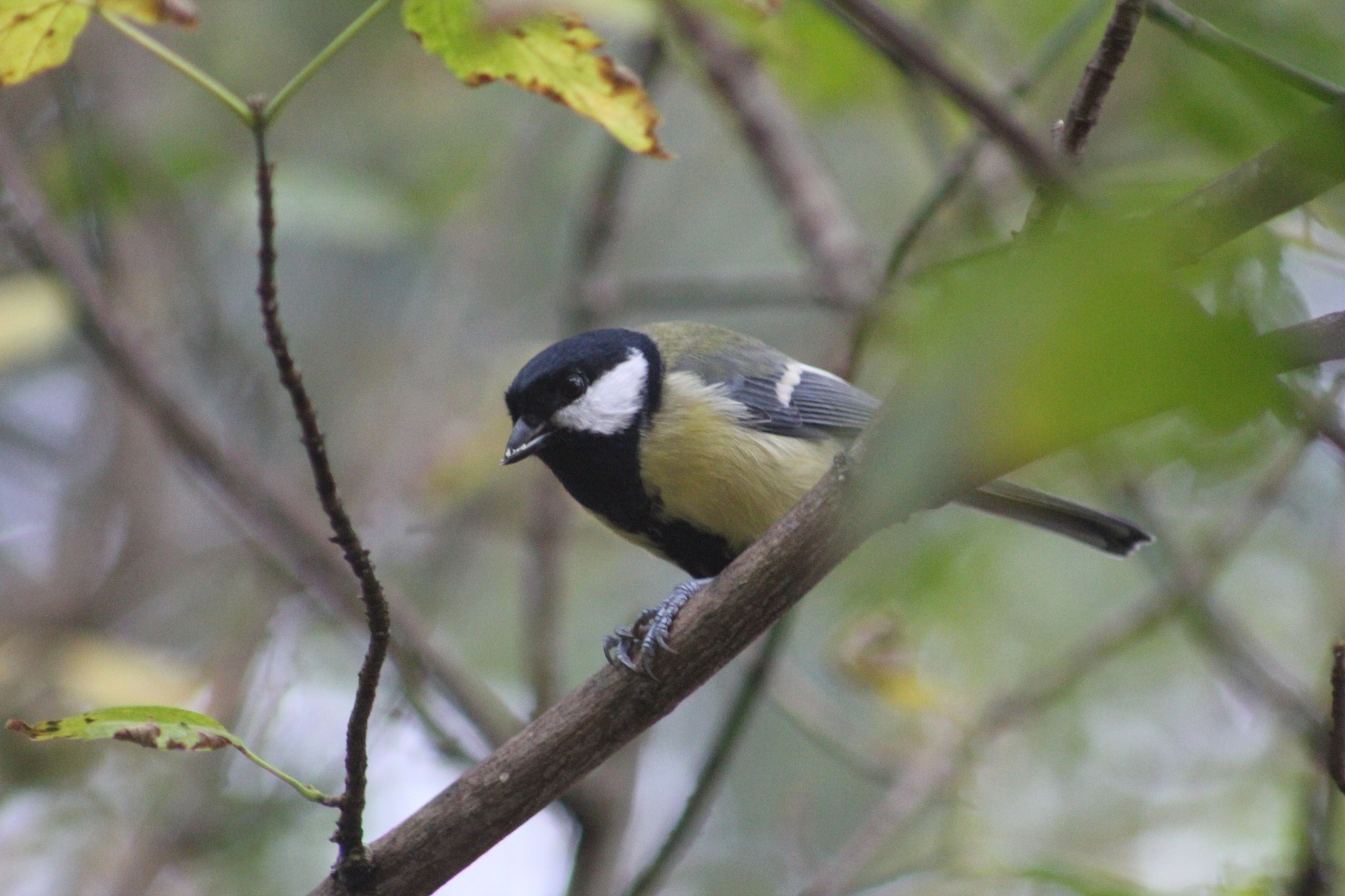 Little Great Tit by Lsb23
