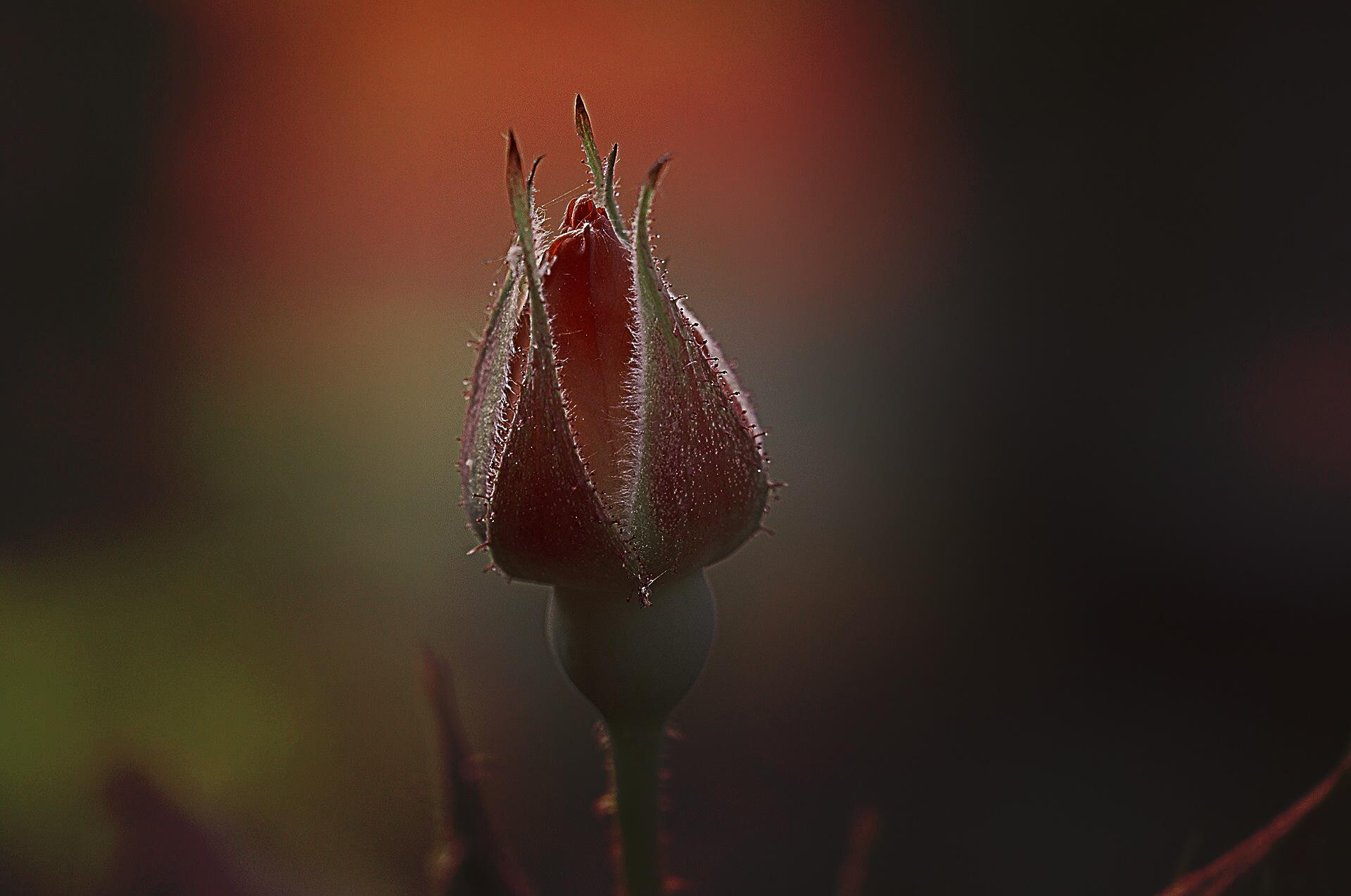 Rosebud by Lsb23