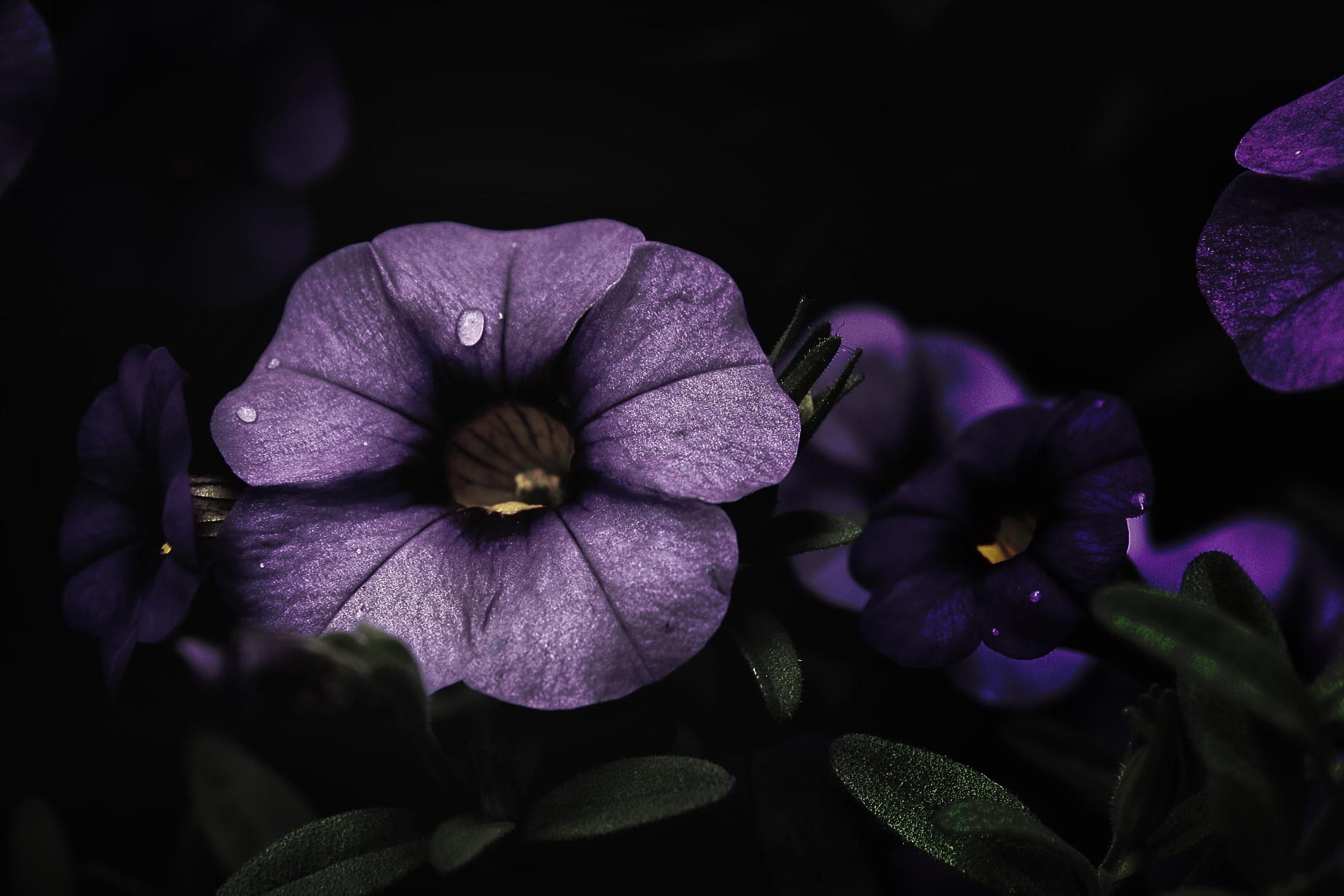 Petunia  by Lsb23