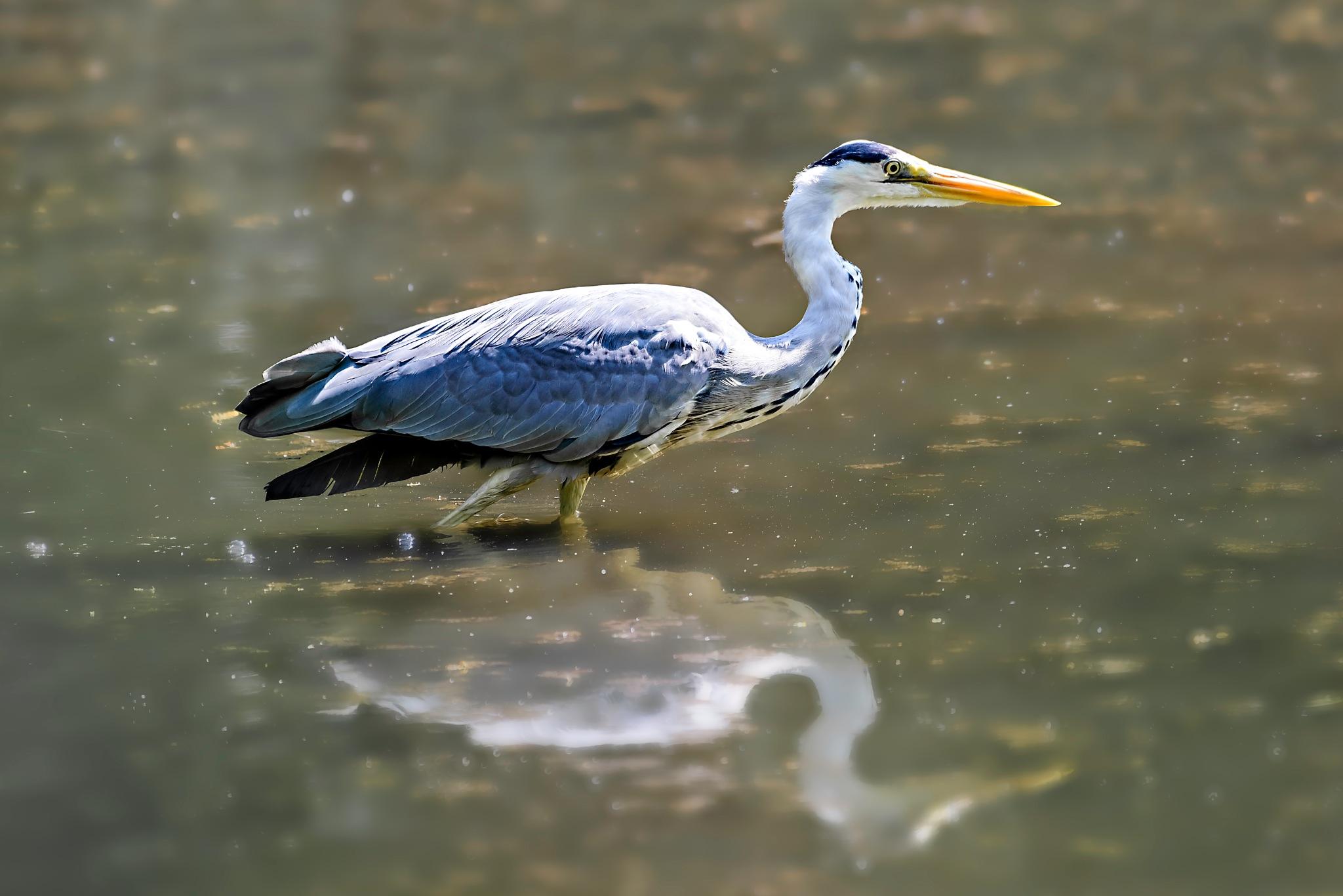 Heron by Gary Bibby