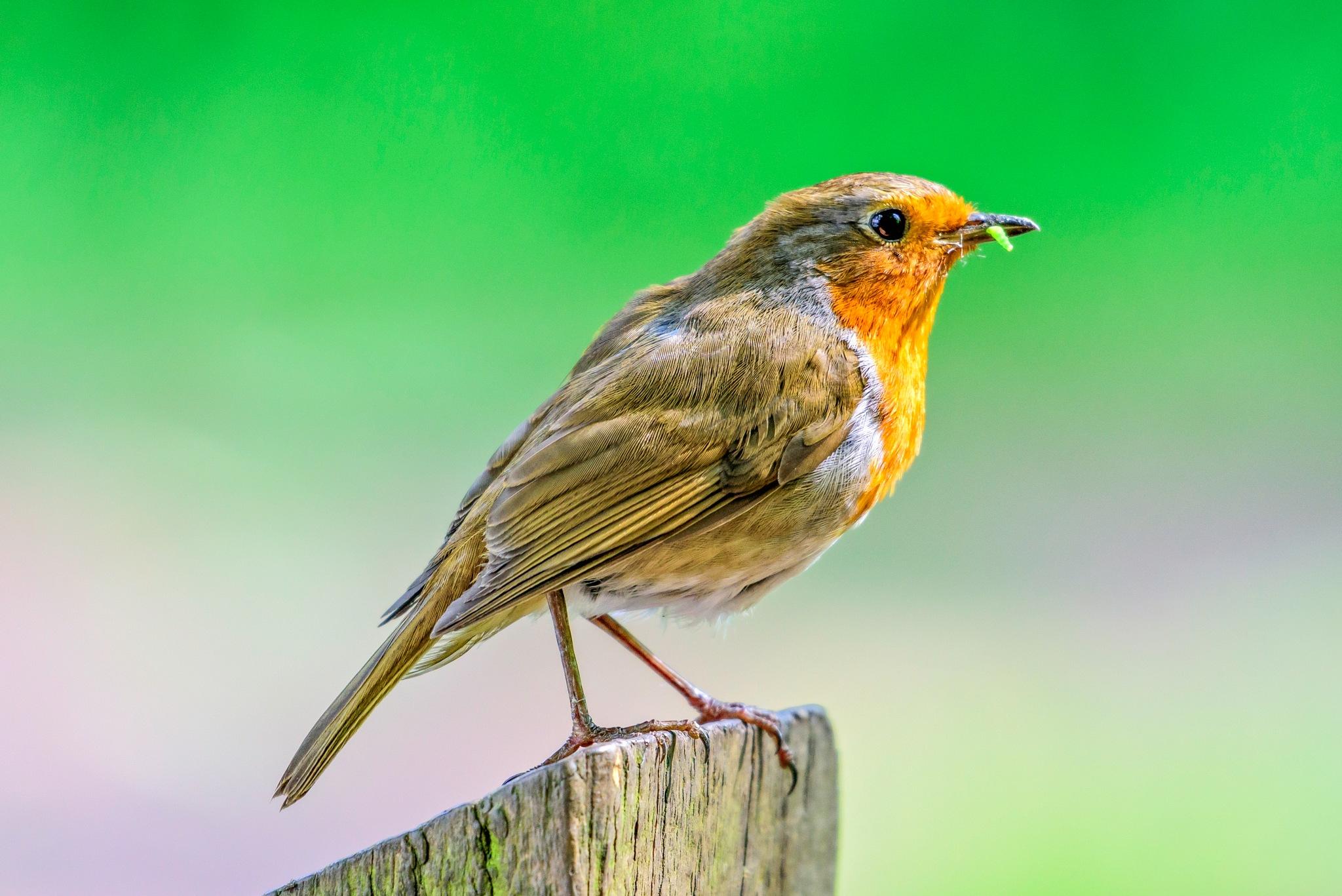 Robin by Gary Bibby