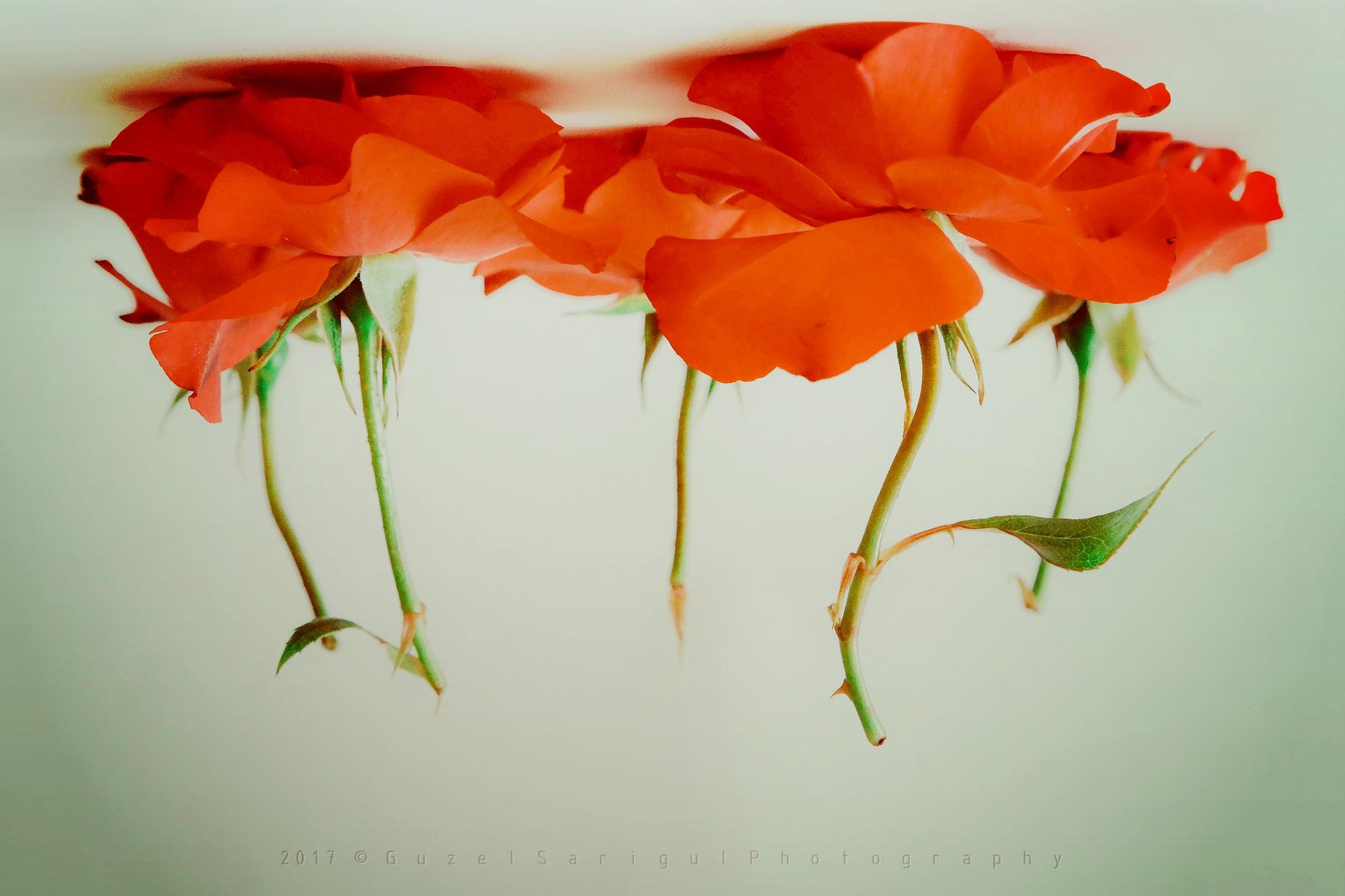 Roses by Guzel Sarigul