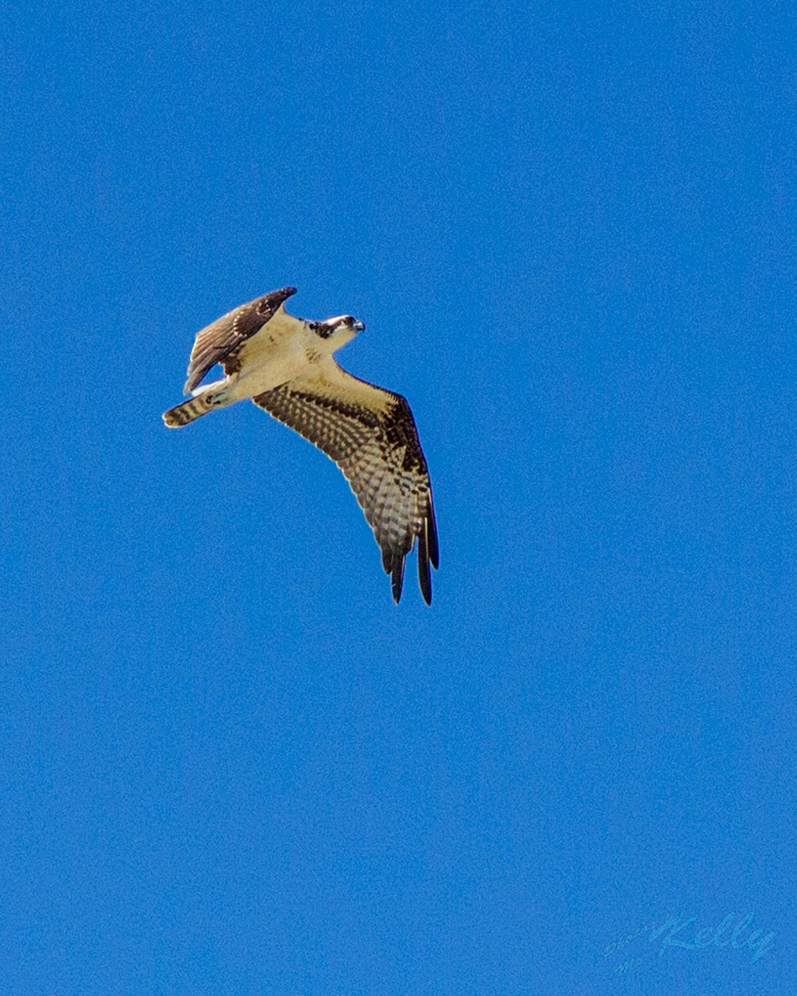osprey by Kelly Mcburney