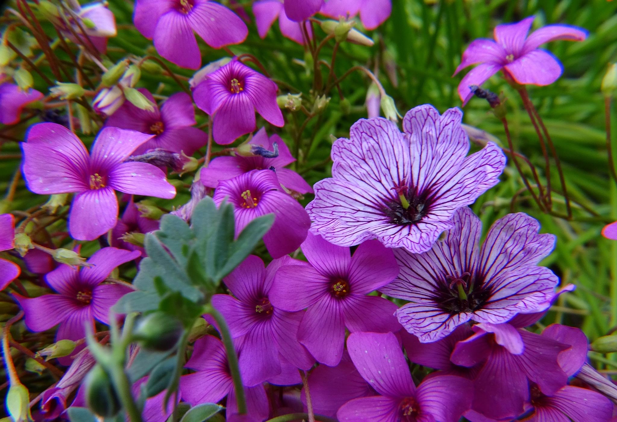 Geranium and Oxalis. by kayThornton