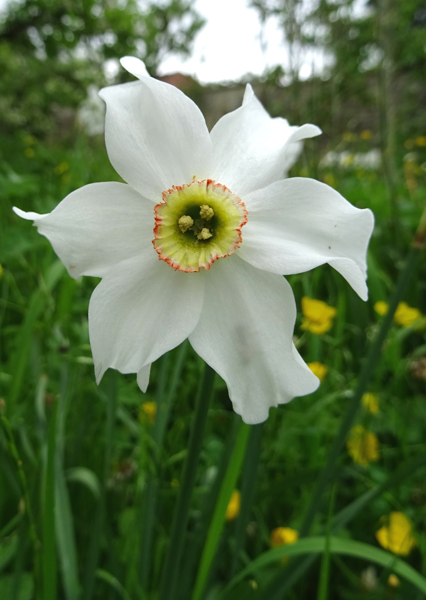 Late Flowering Narcisi by kayThornton