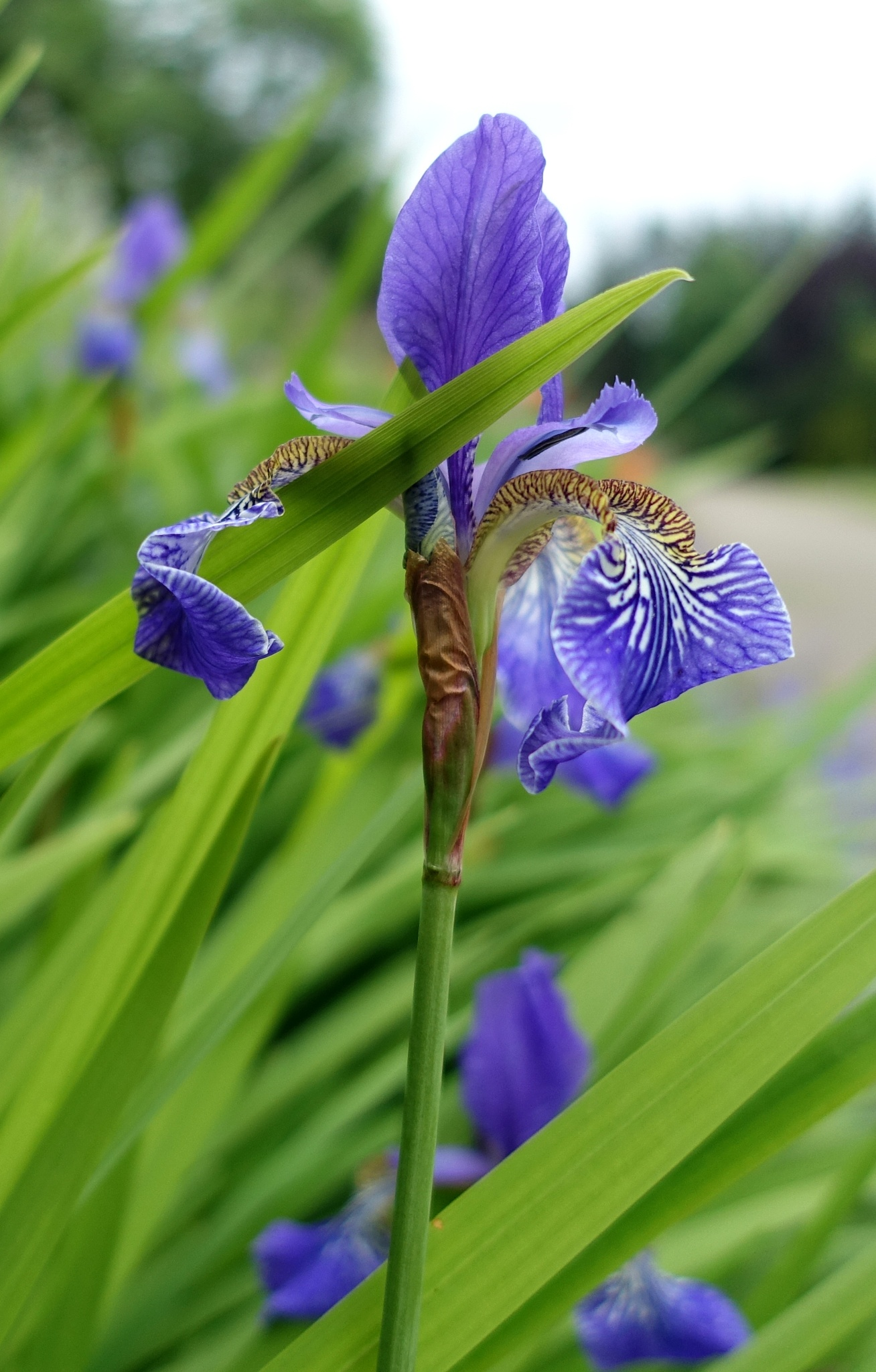 Purple iris by kayThornton
