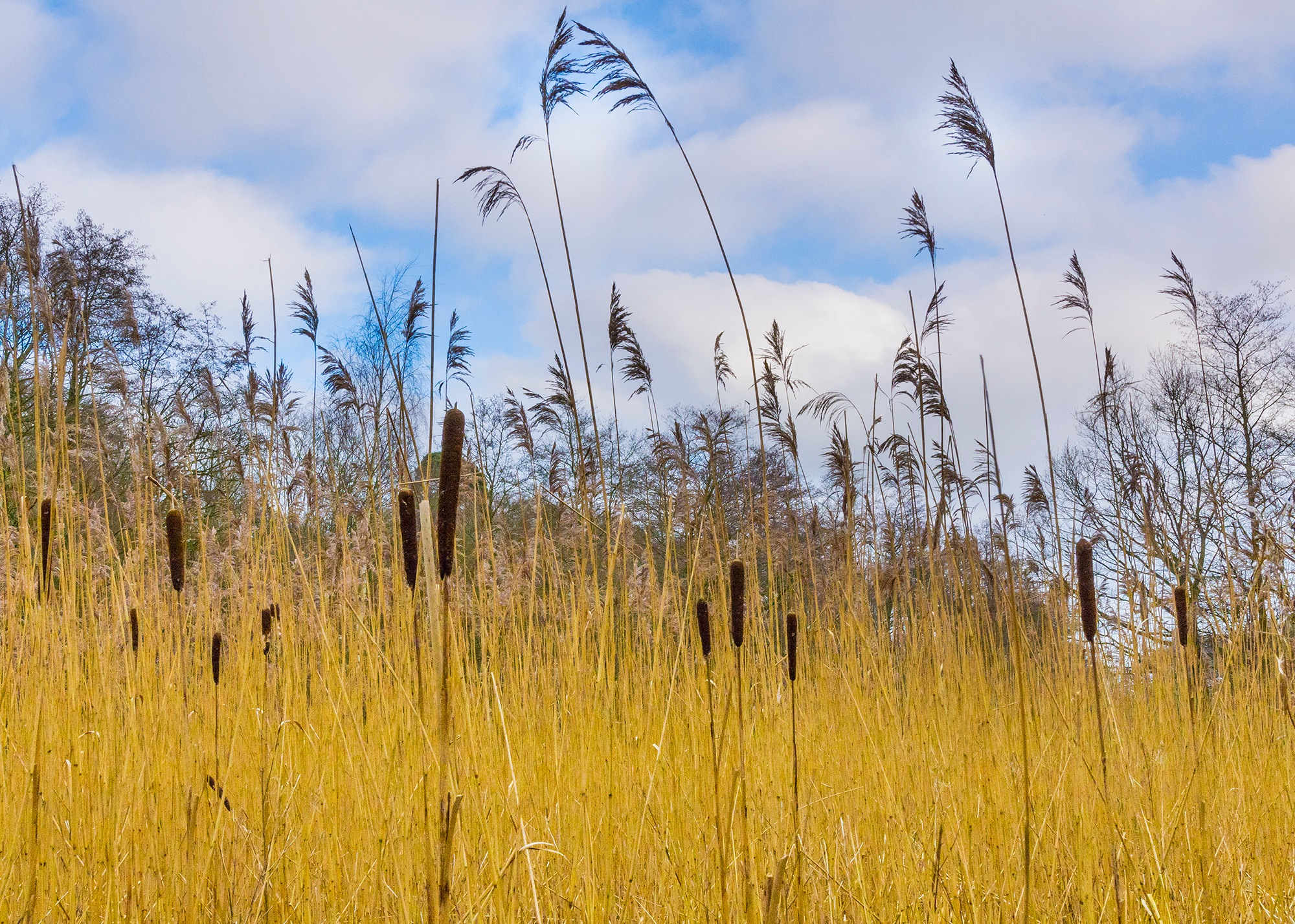 Bulrushes by Ian M