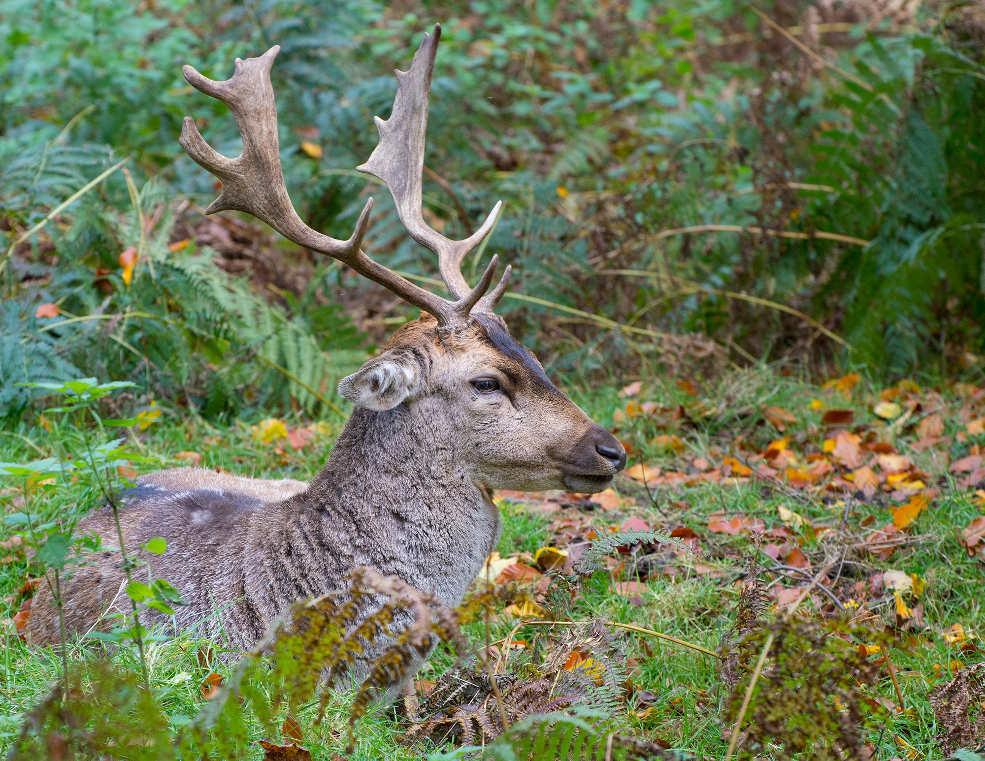 Autumn Stag by Ian Moore