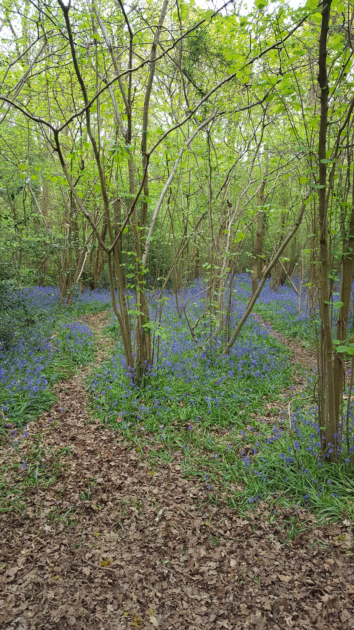Bluebells in the woods  by JayneG
