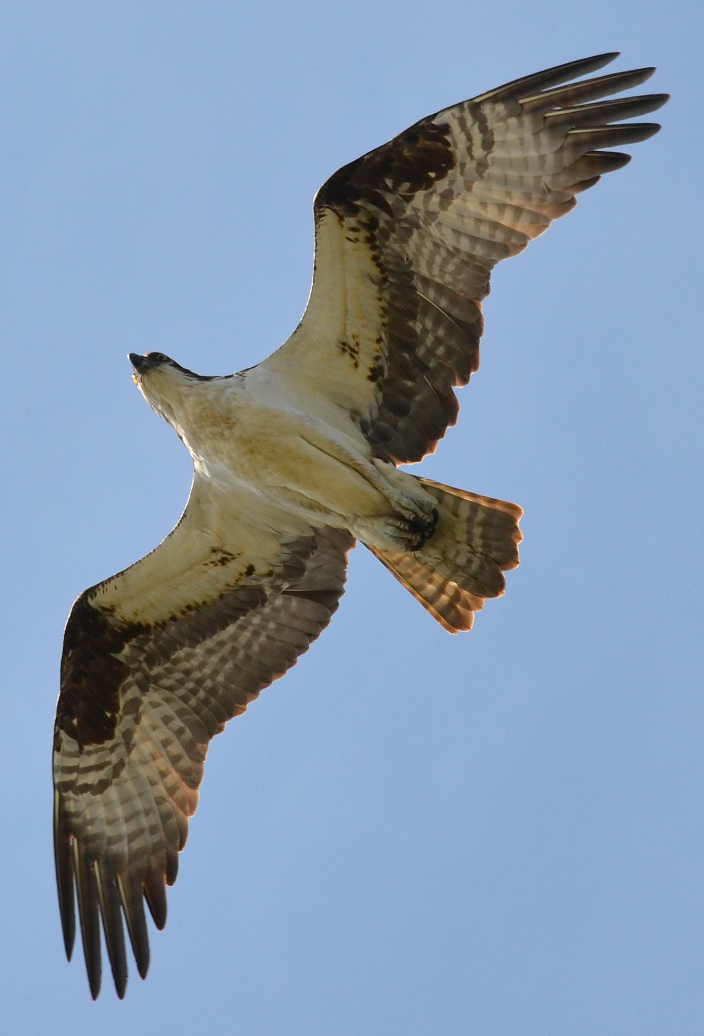 osprey fly 3333 by jetskibrian