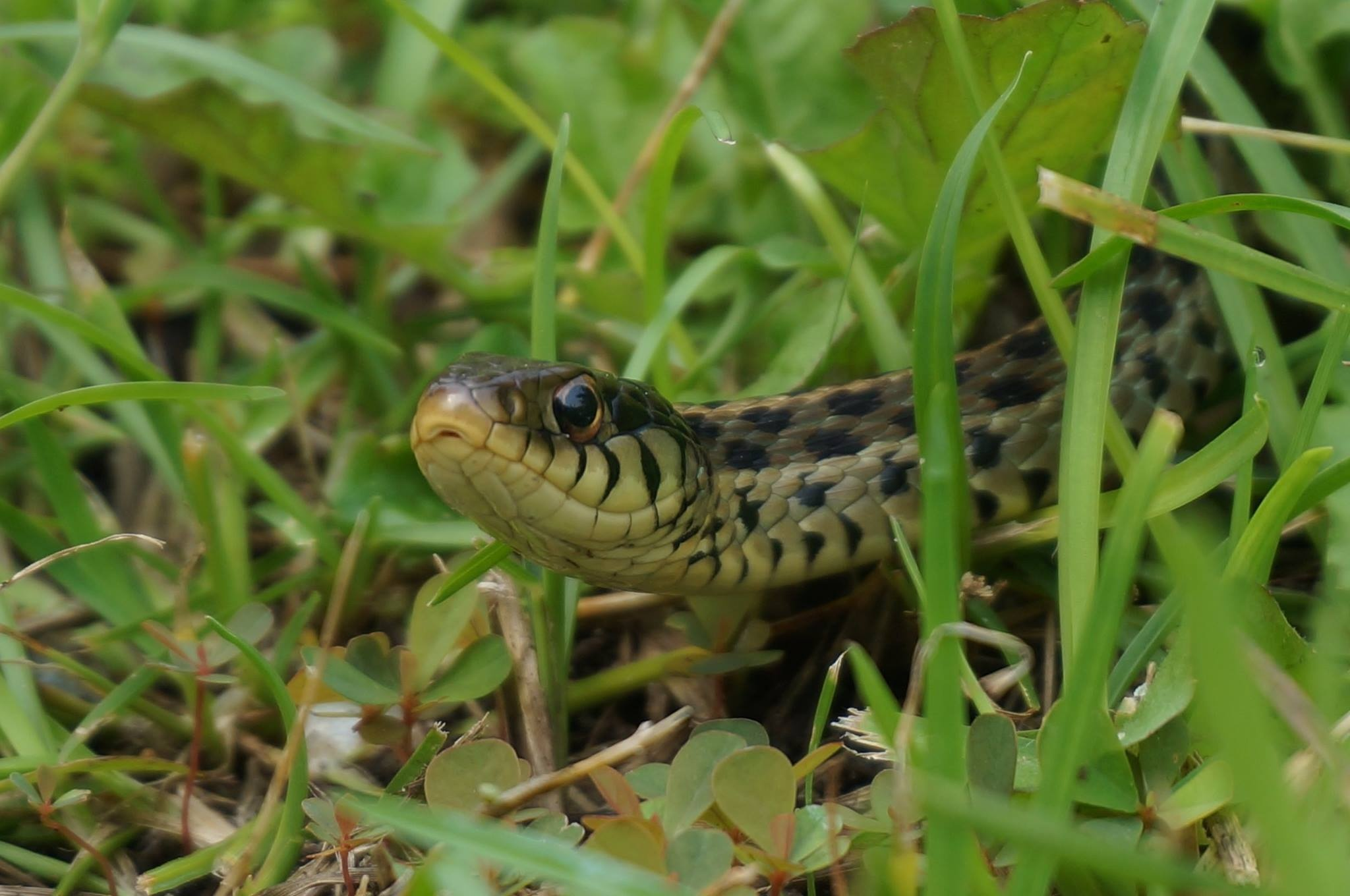 Garter Snake After My Toad by ButterBee
