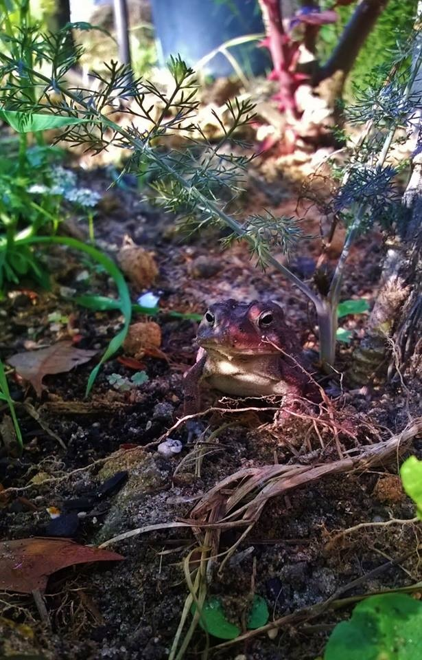 Toad Hiding From Garter Snake by ButterBee