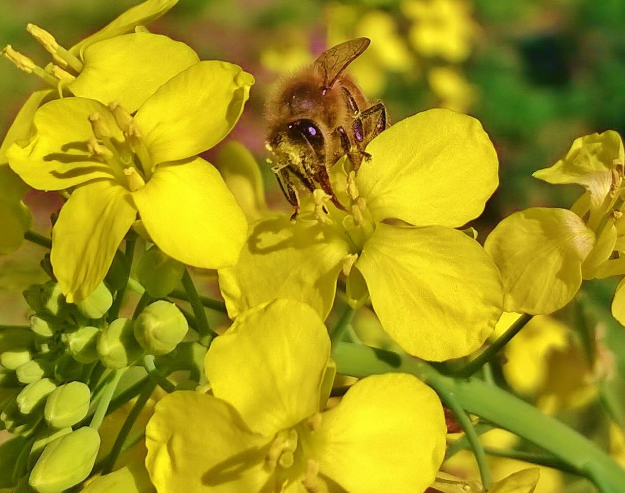 Bee on Cassia Plant by ButterBee