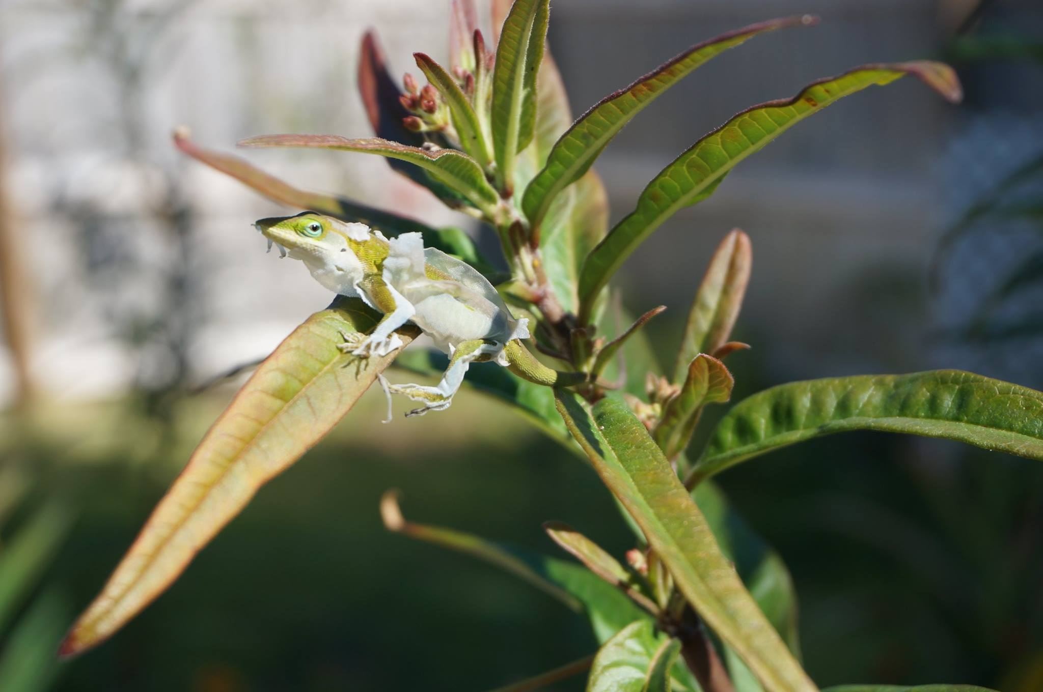 Green Anole Getting Undressed by ButterBee