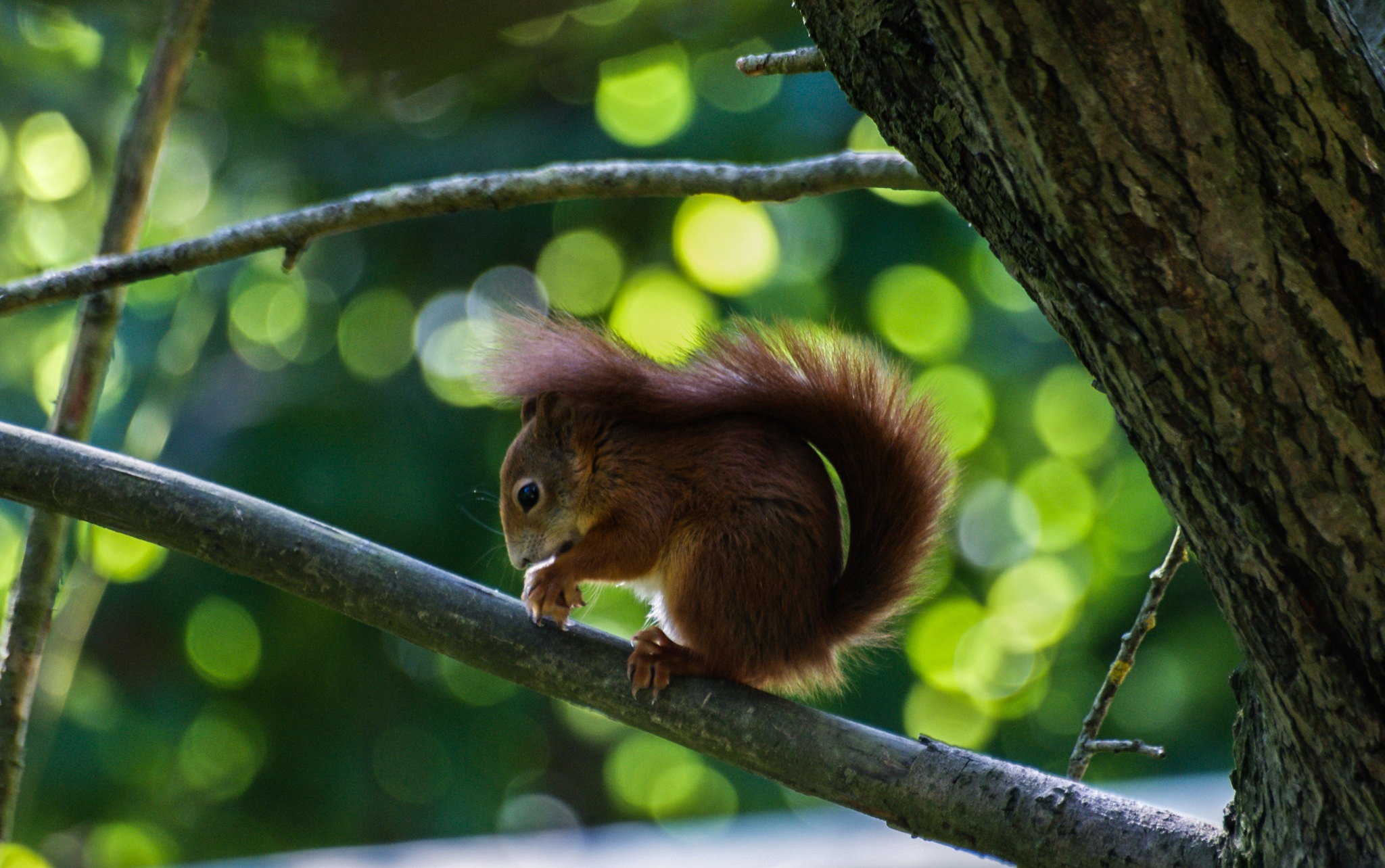 Red Squirrel by Lisa  Smudge  Nature and Wildlife Photographer