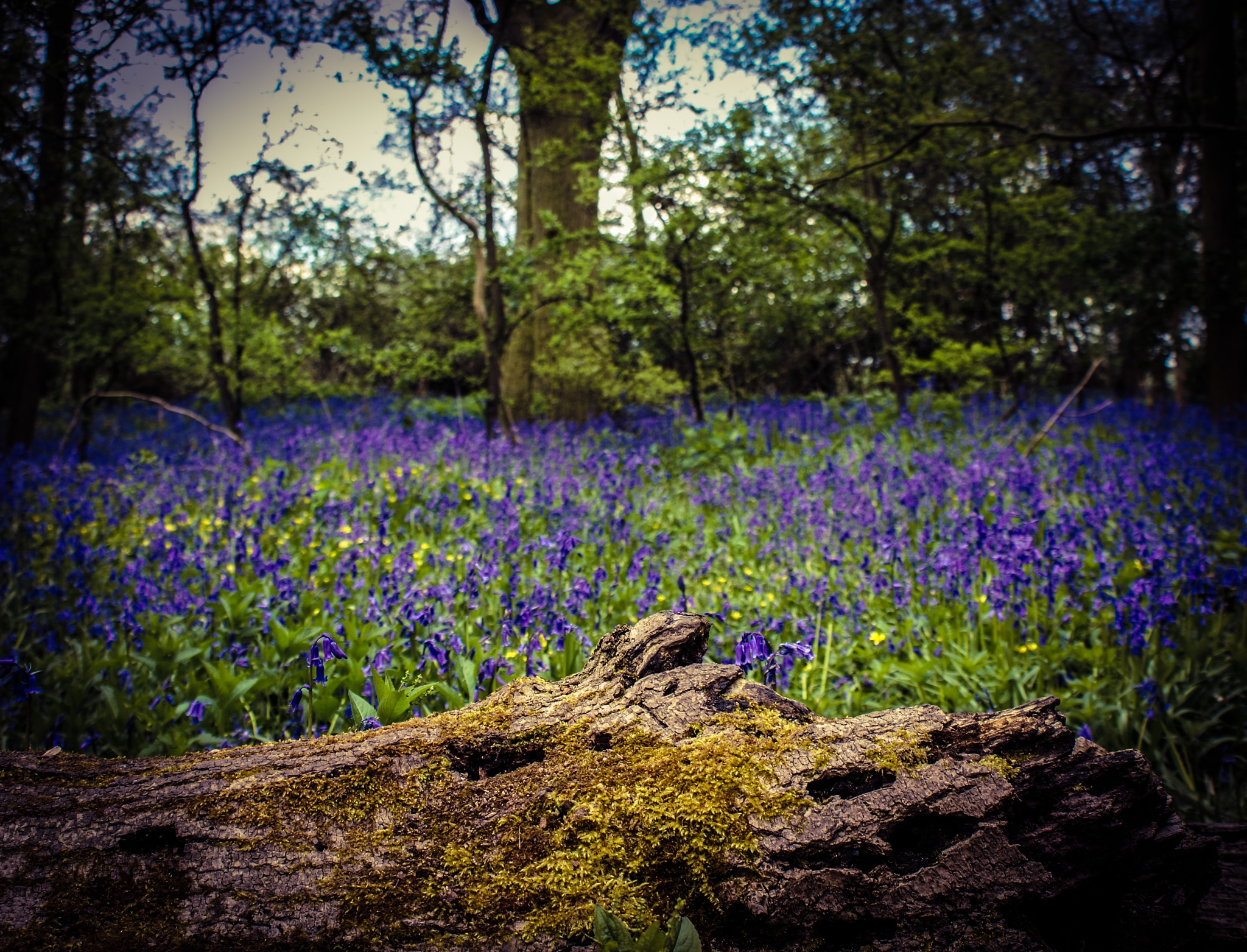 Bluebells by Lisa Nature and Wildlife Photography