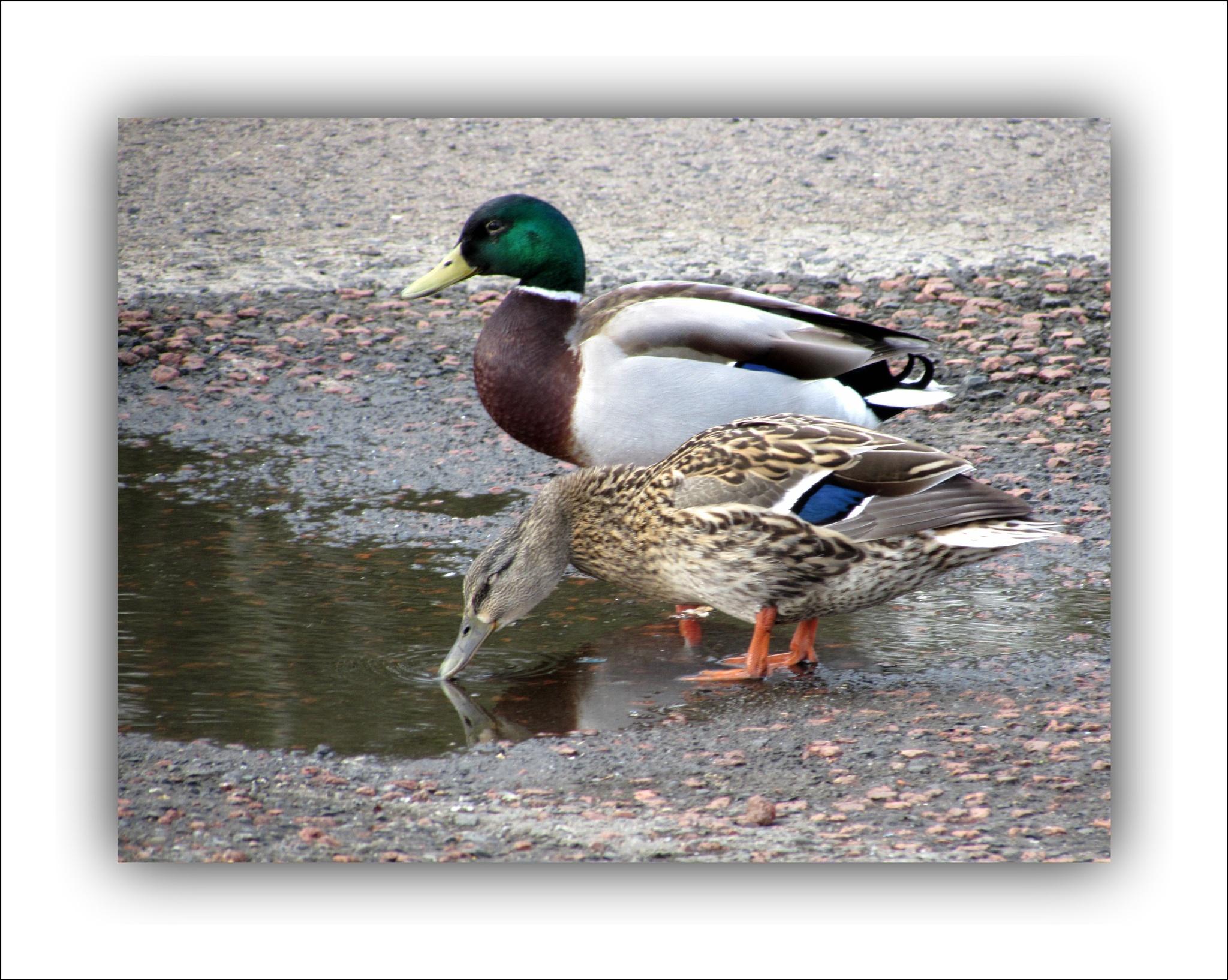 Mallard Ducks~ Pair by Kennysphotos