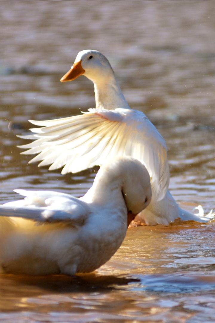 Ducks by BrightSide GA