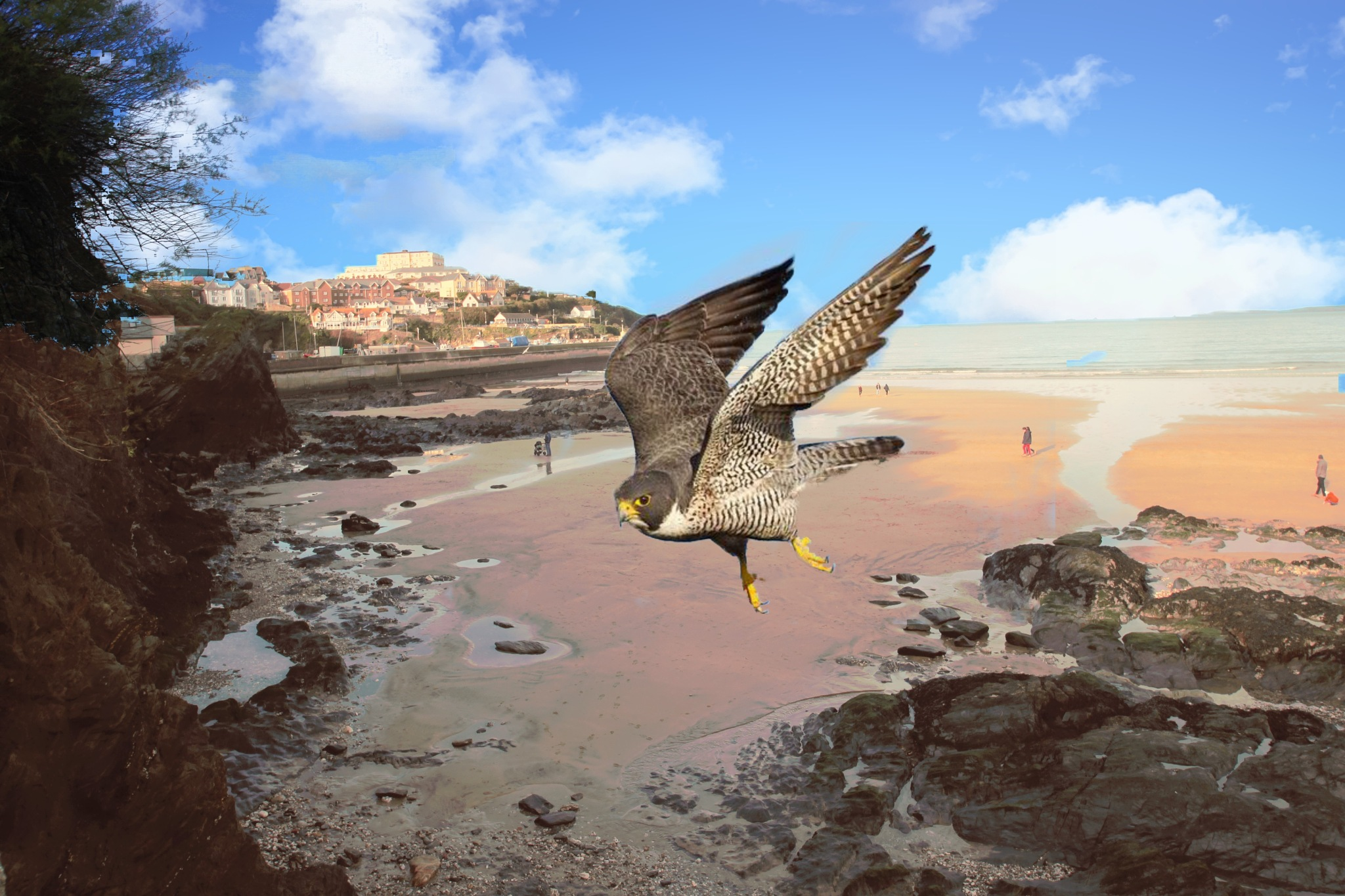 perigrin falcon at newquay by Paul Gast