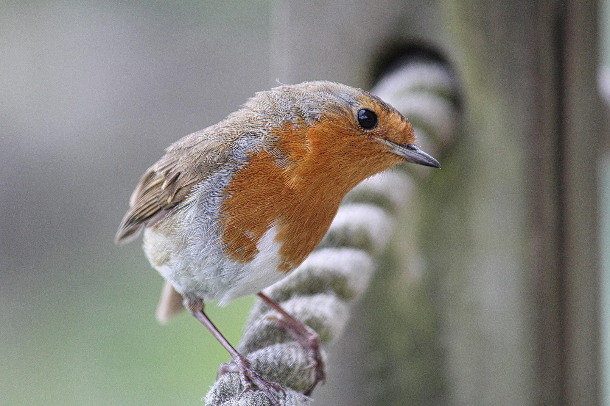 robin by Paul Gast