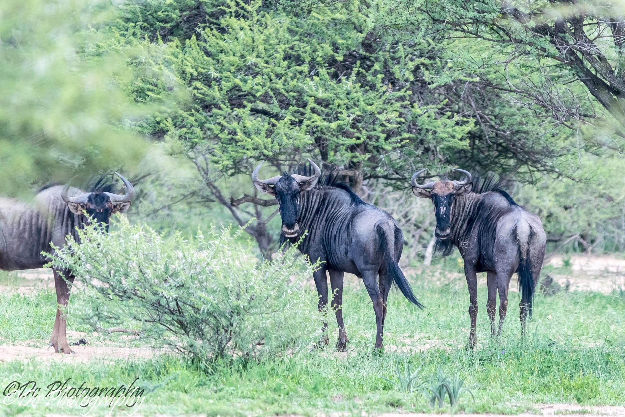 Wildebeest by Dusky De Reuck