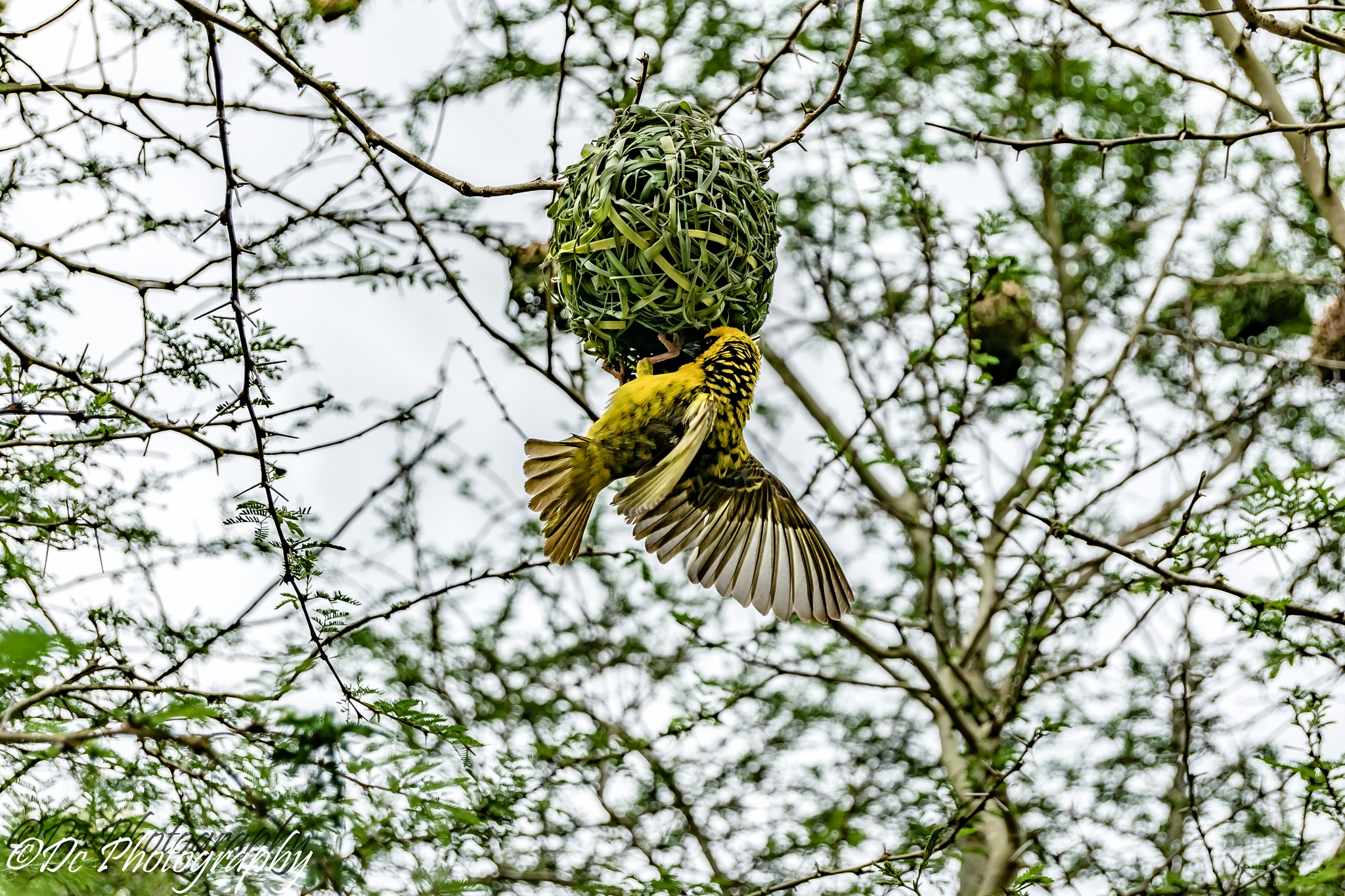 Building Nest by Dusky De Reuck