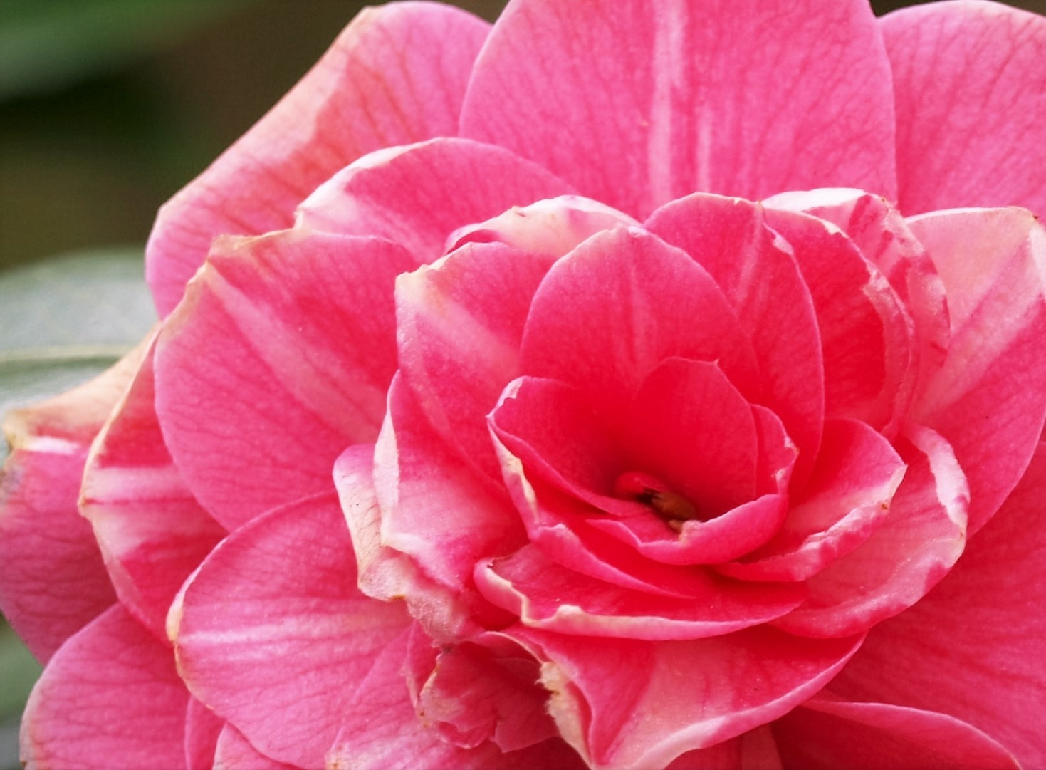 Camellia. by Jacquelyn Hyde