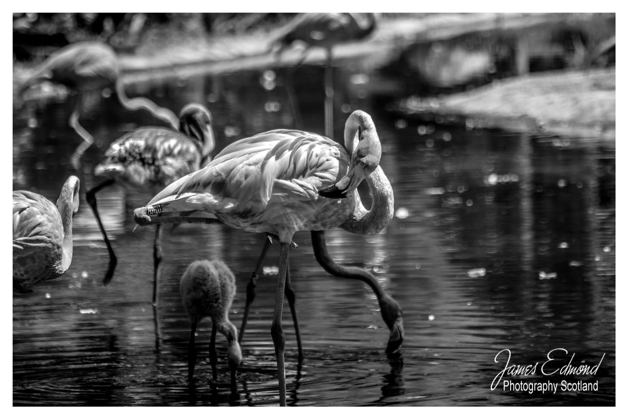 Flamingo Family by James Edmond Photography