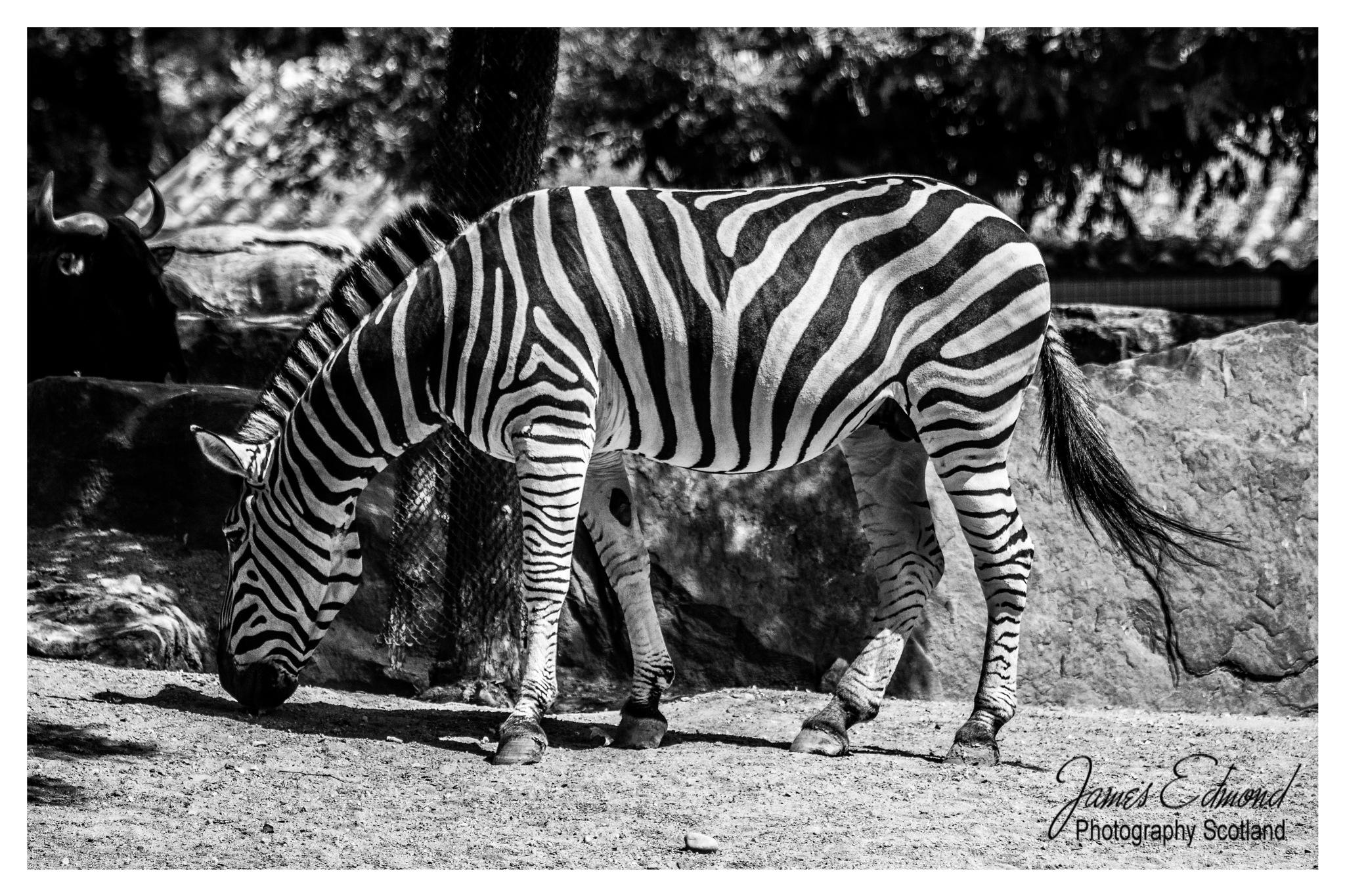 monochrome picture of a Zebra by James Edmond Photography