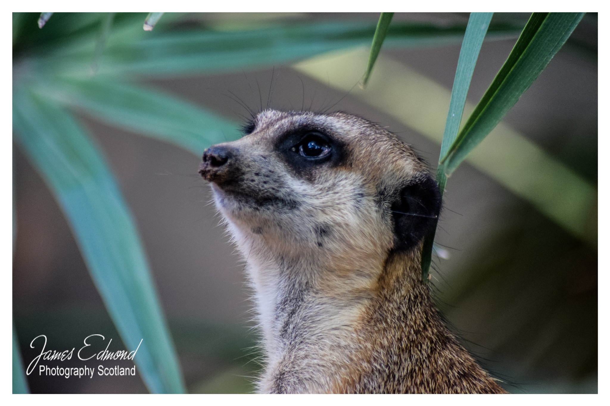Meerkat by James Edmond Photography