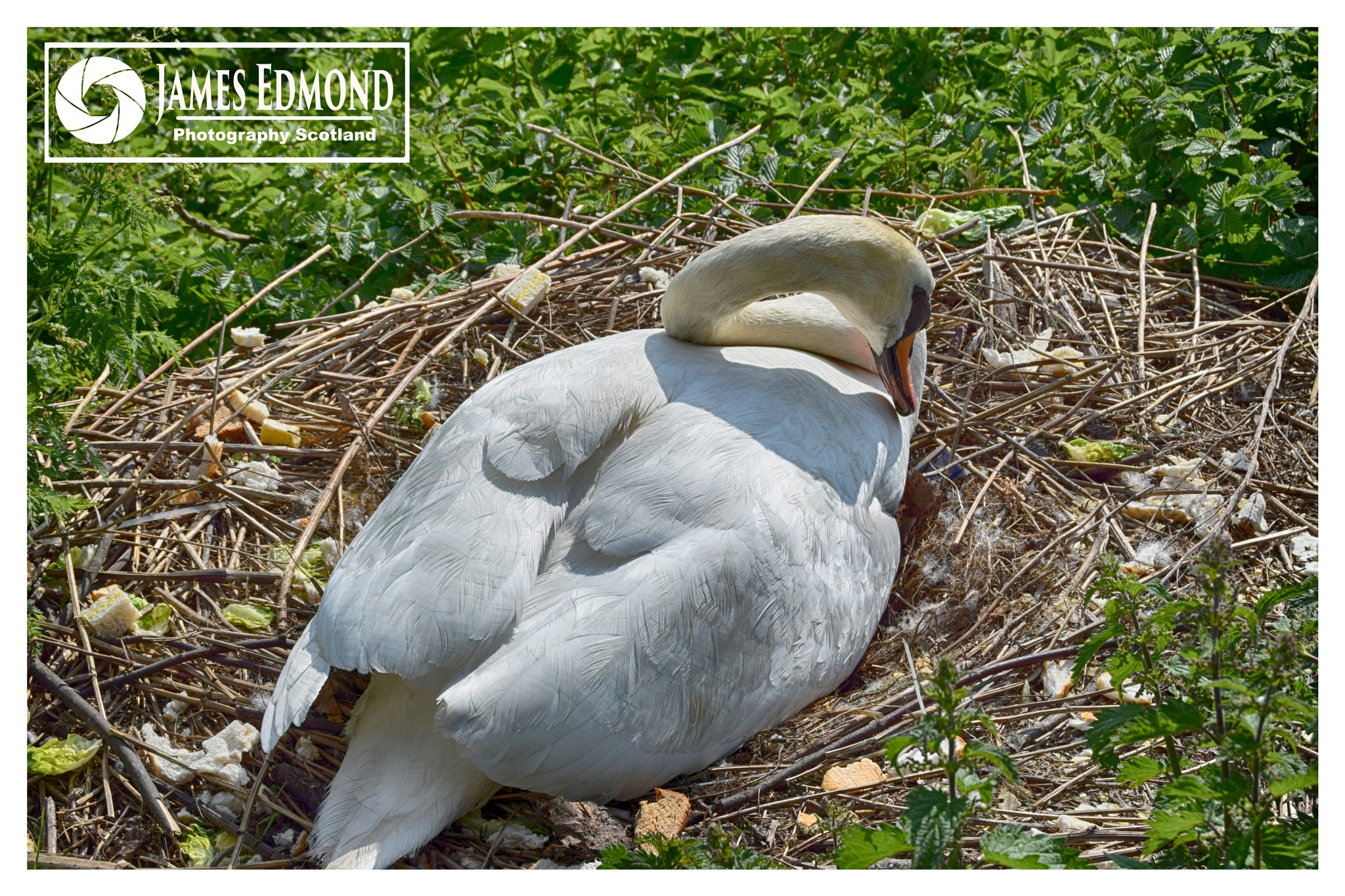 Beautiful Female Swan on her Nest by James Edmond Photography