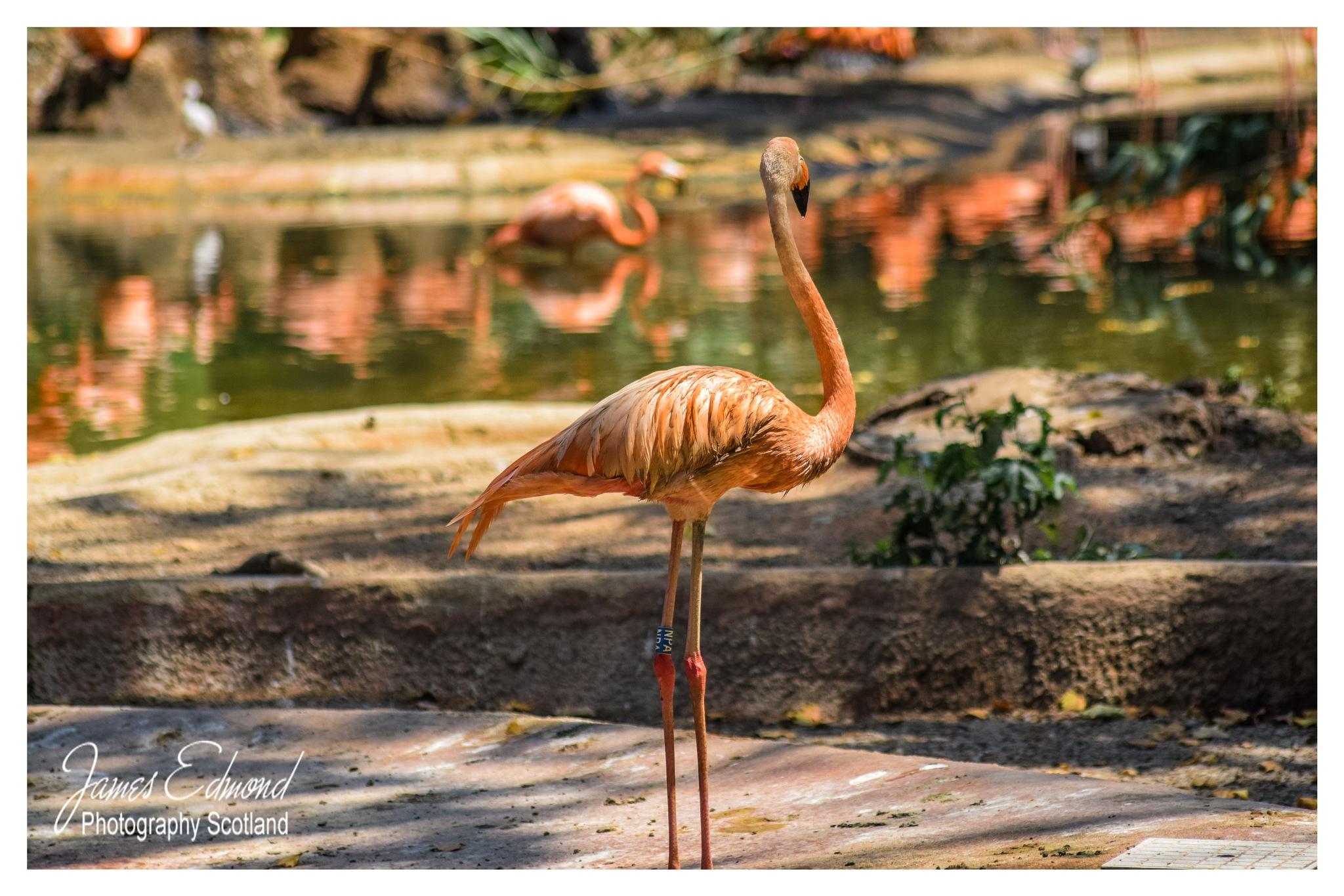 Flamingo by James Edmond Photography
