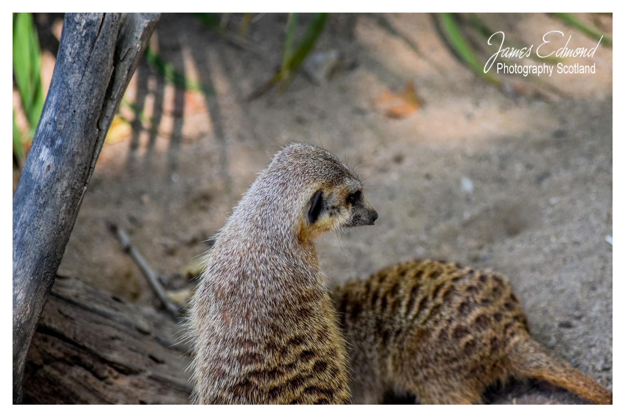 Meerkat  by James Edmond Photography