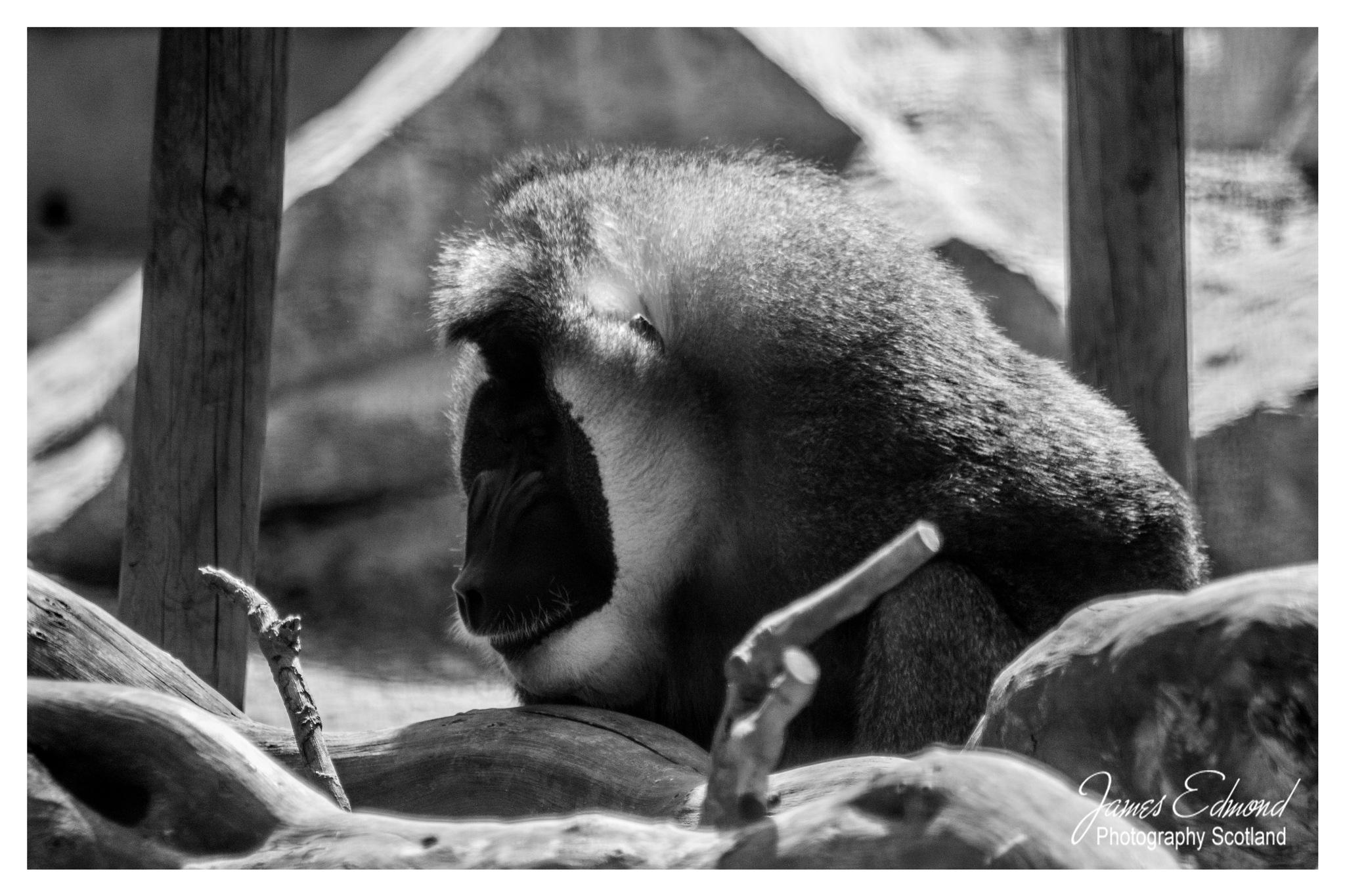 Meet Mr Gorilla in Monochrome by James Edmond Photography