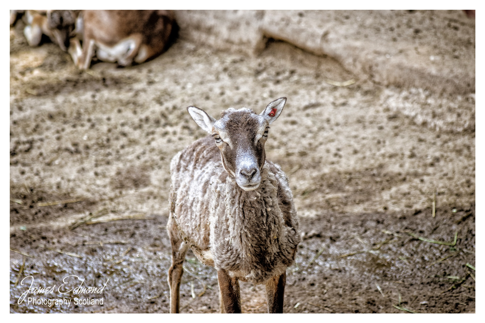 Barbary Sheep by James Edmond Photography