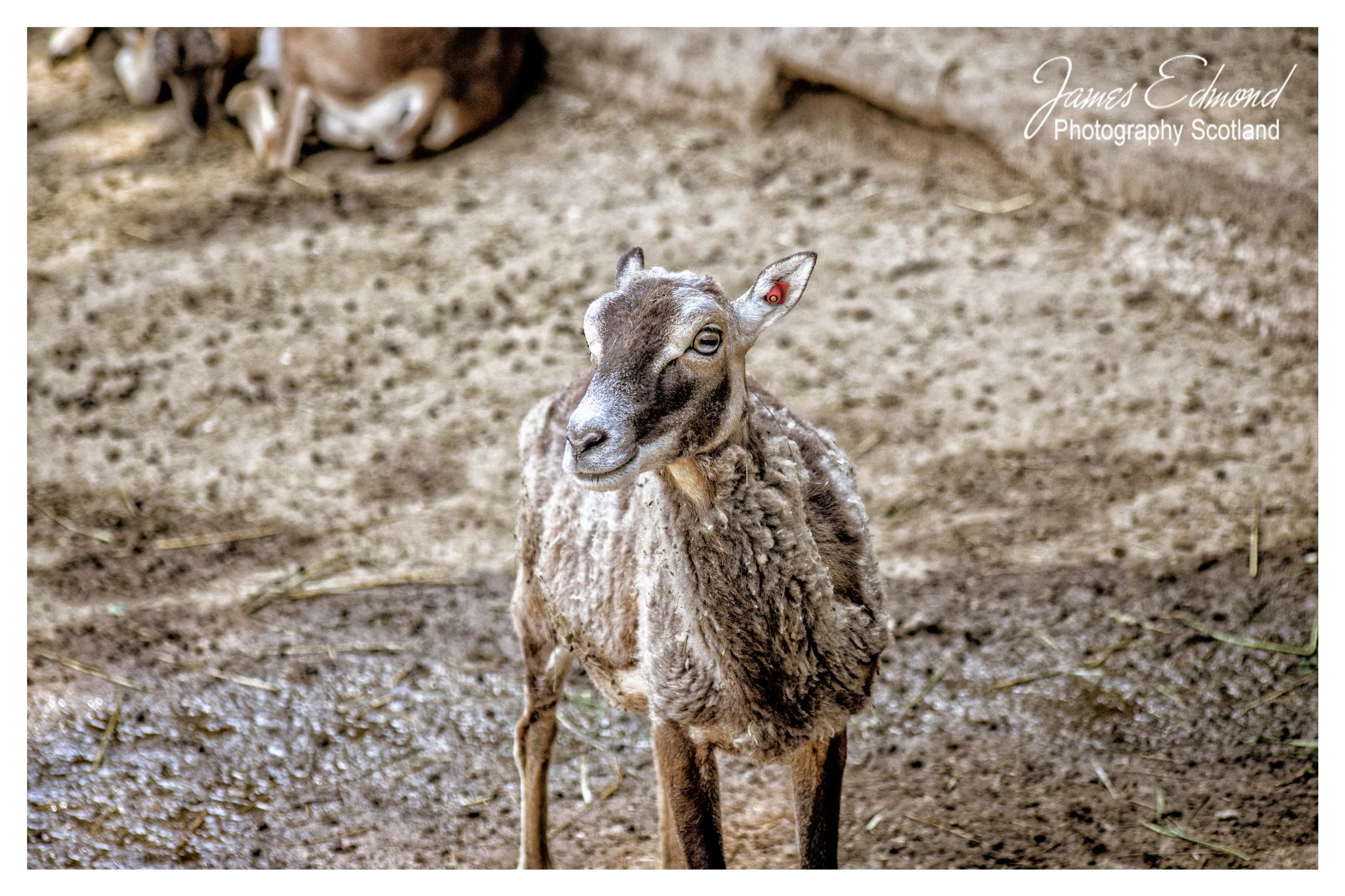 Barbary Sheep by James Edmond Photography