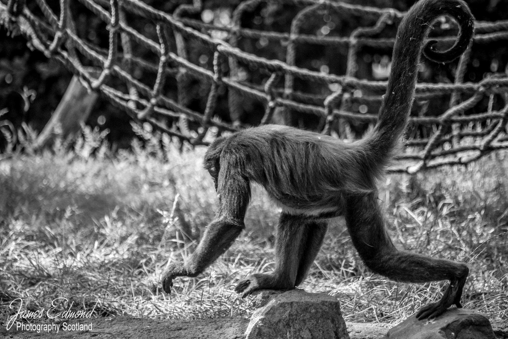 Spider Monkey by James Edmond Photography