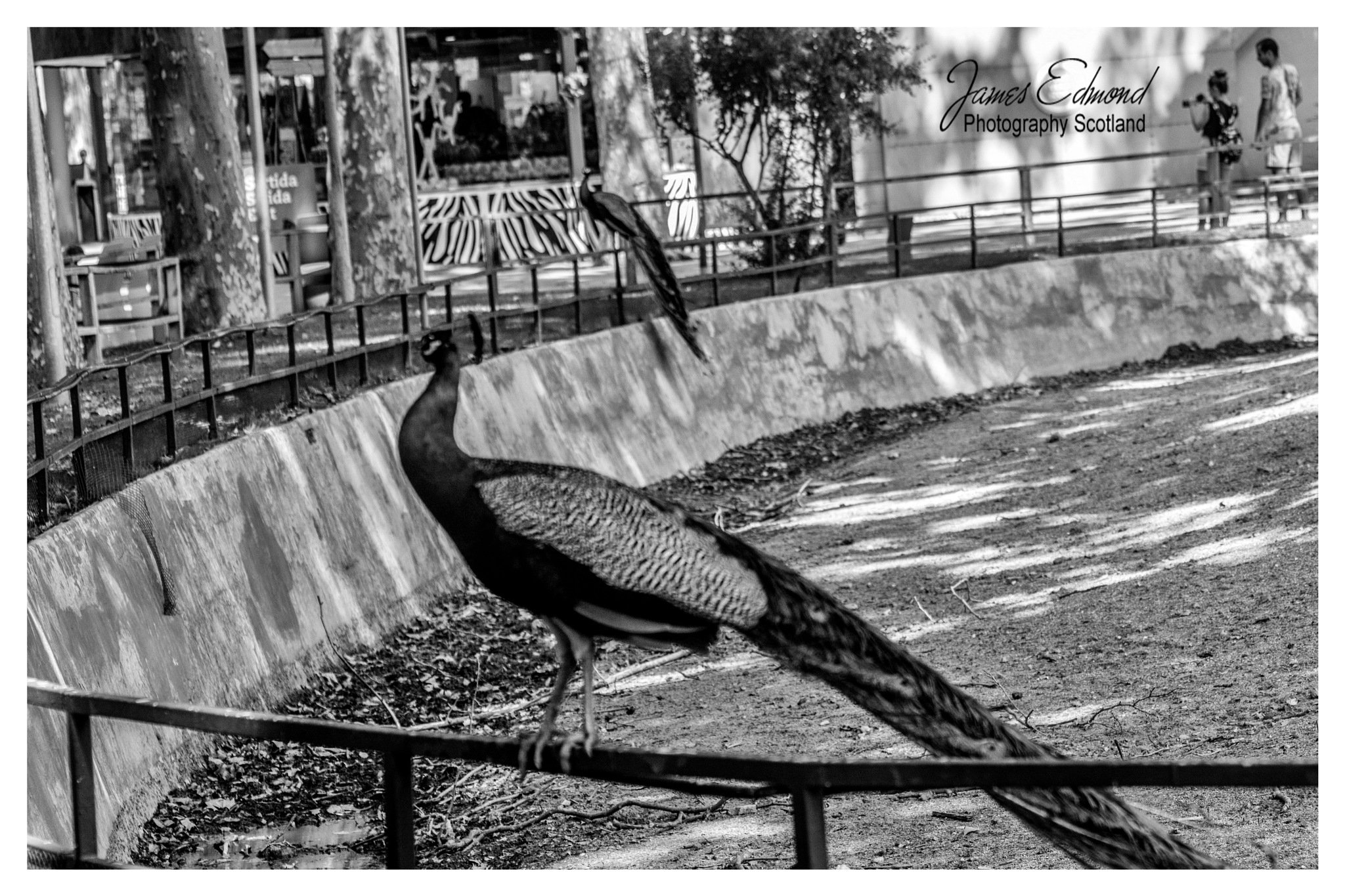 Peacock in Monochrome by James Edmond Photography