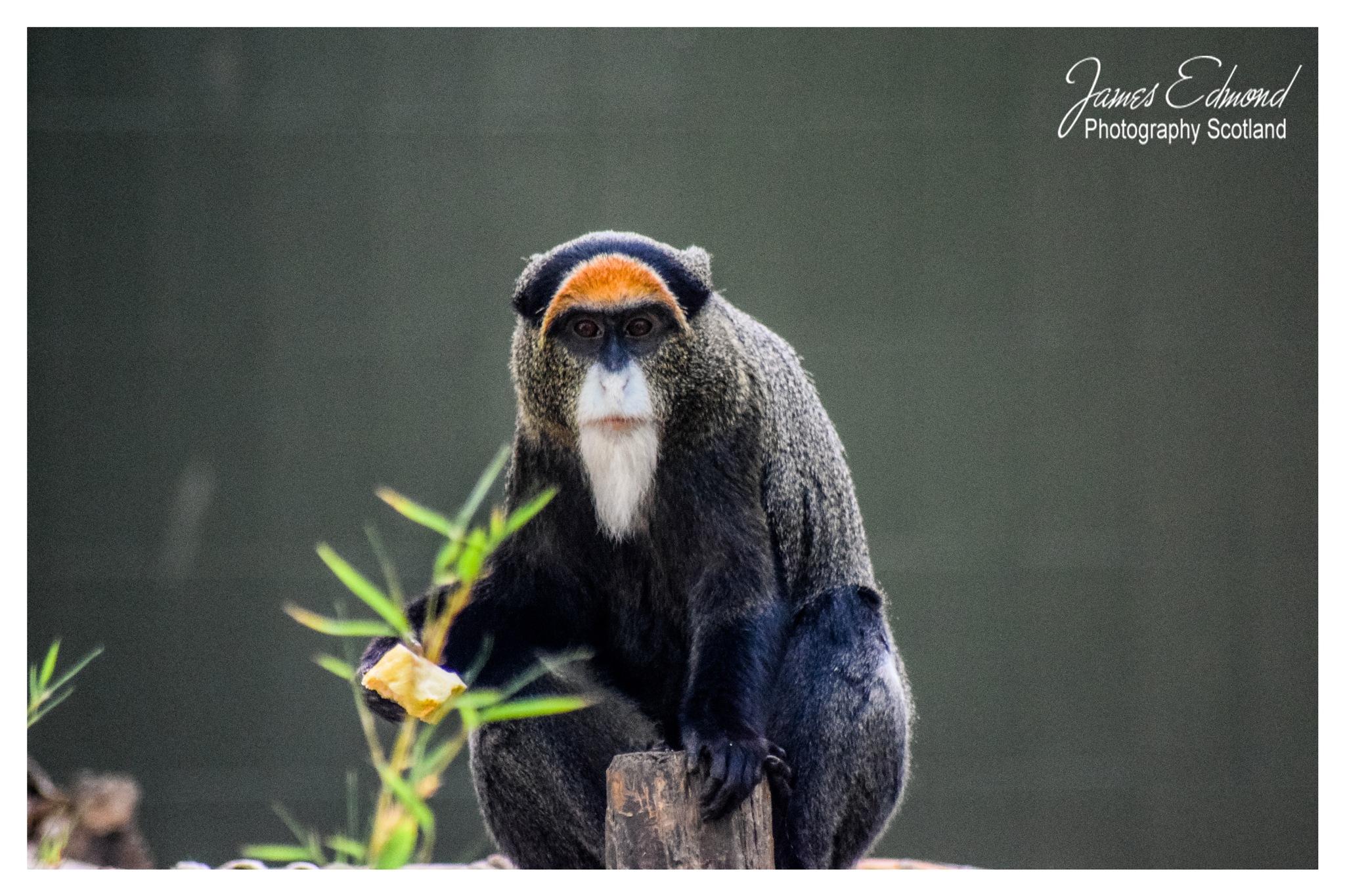 Monkey by James Edmond Photography