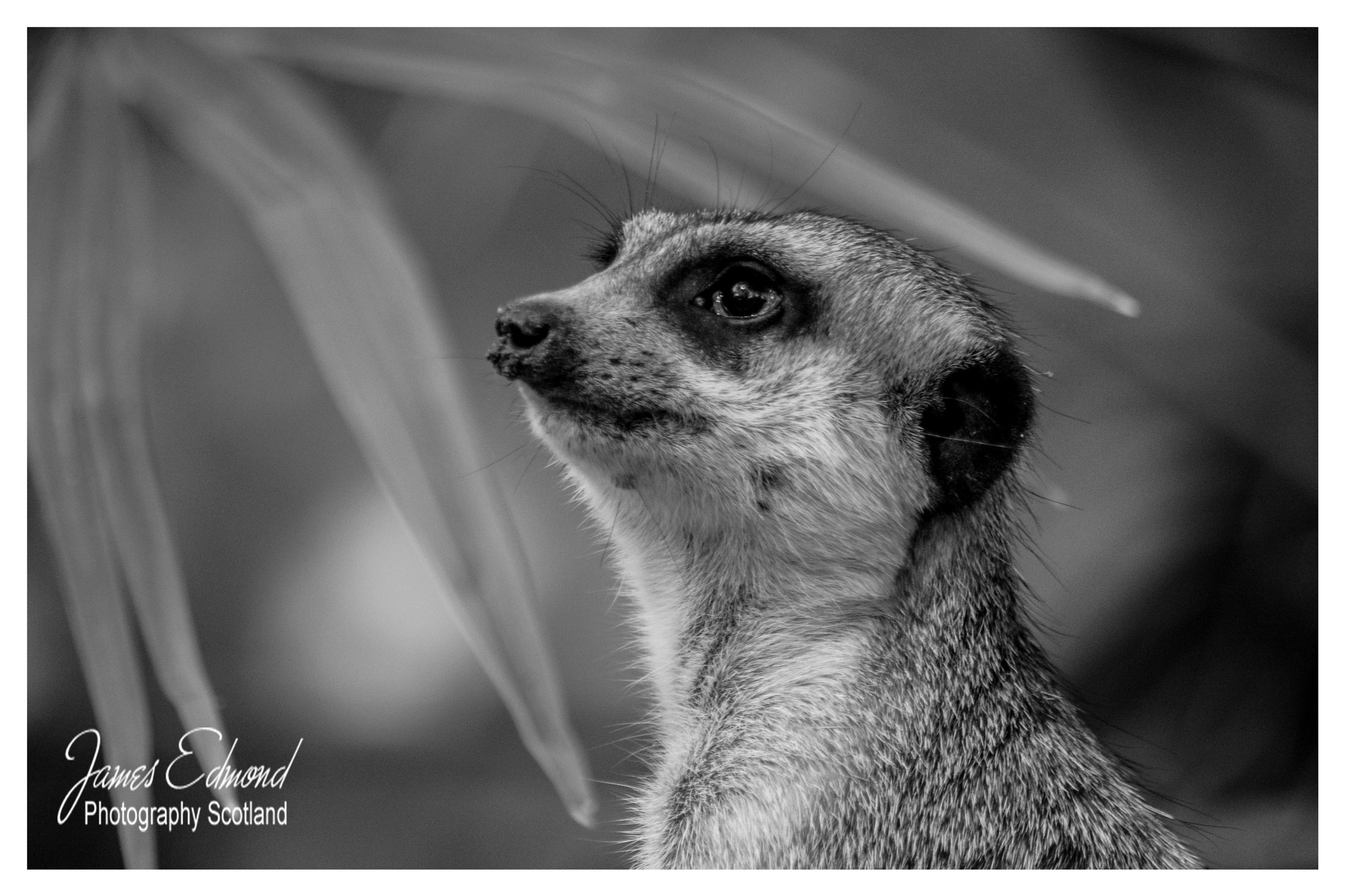 Meerkat in Black and White by James Edmond Photography