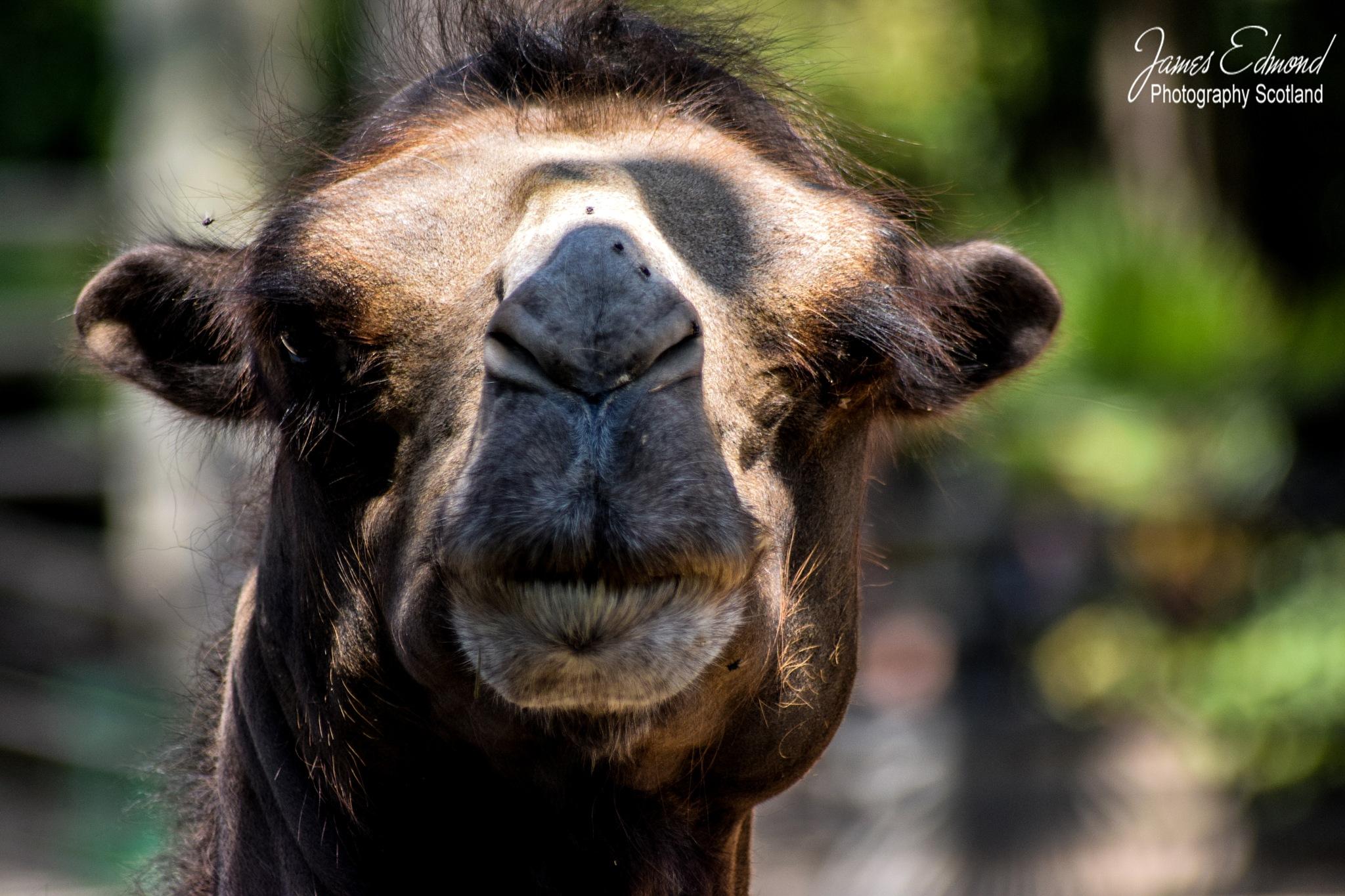 Bactrian Camel by James Edmond Photography
