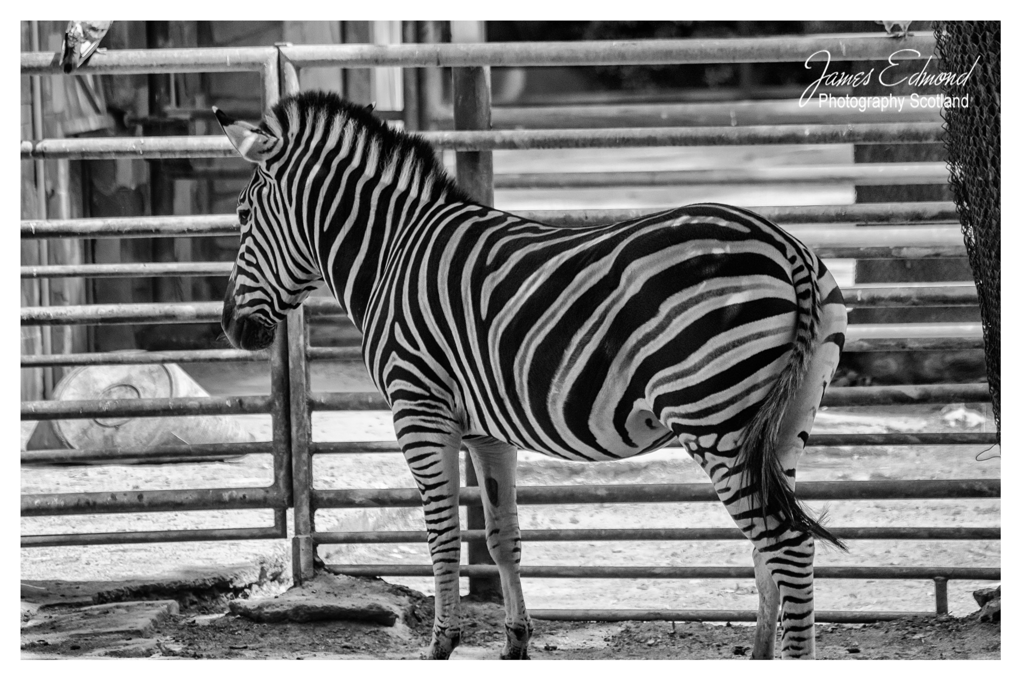 Zebra waiting on it's lunch by James Edmond Photography
