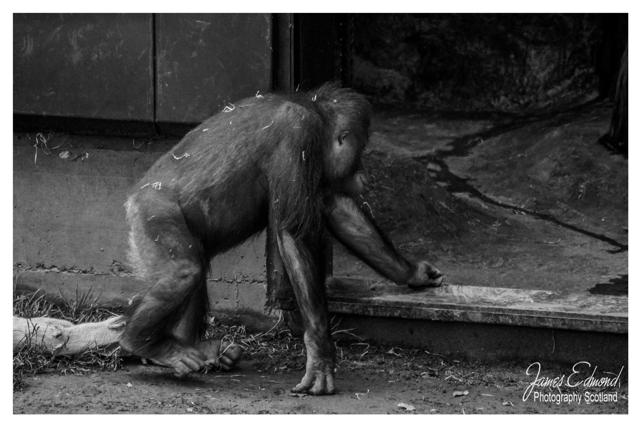 Chimp on the run by James Edmond Photography