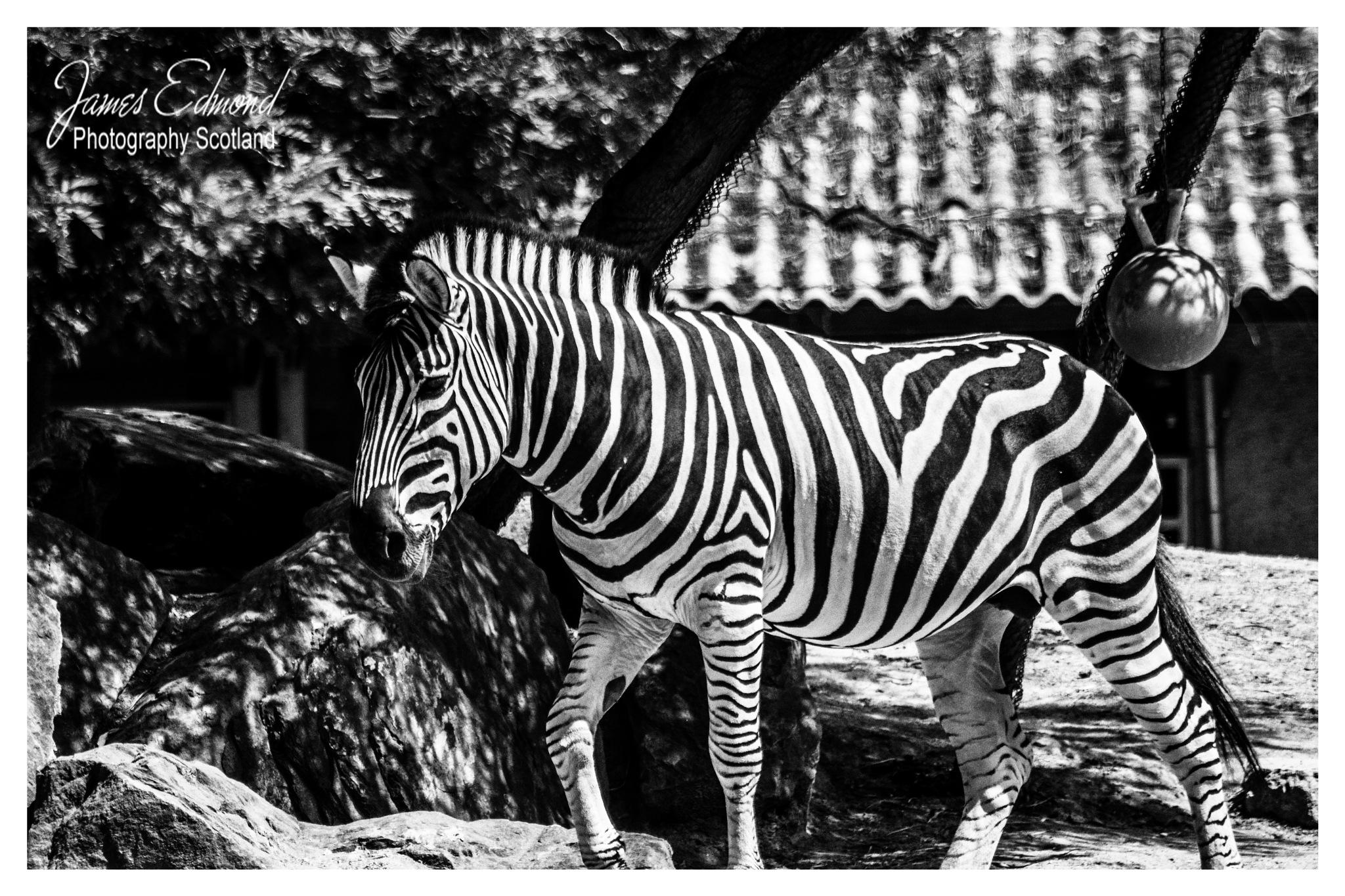 Zebra Strolling around .... by James Edmond Photography