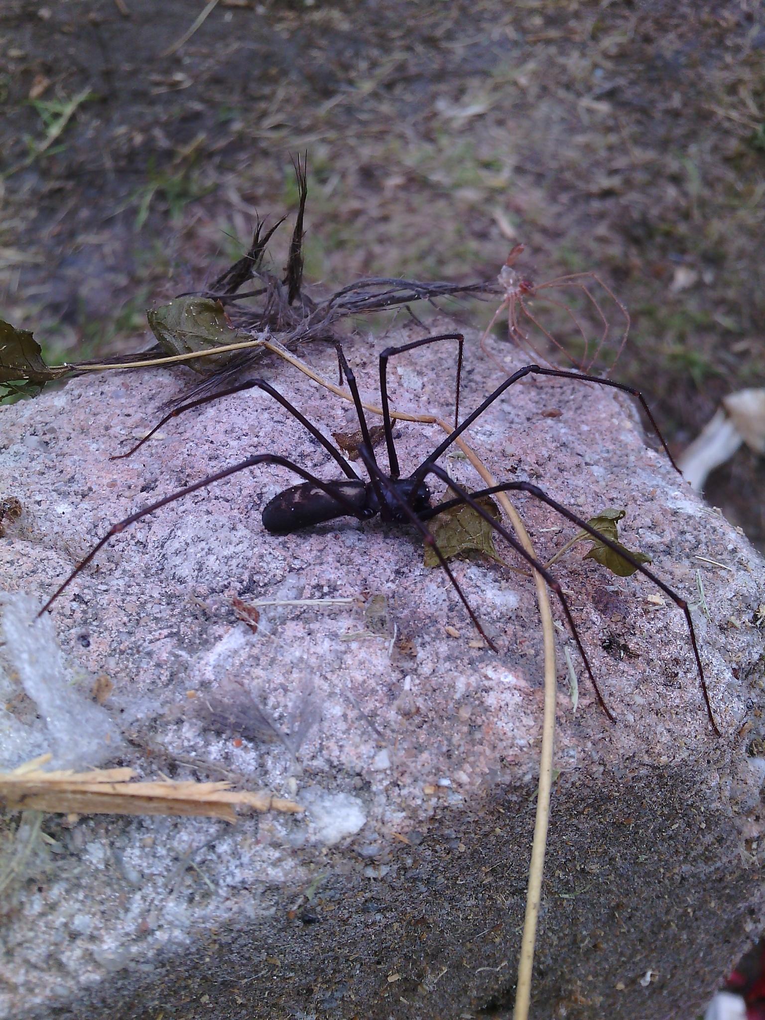 False Violin Spider (Drymusa capensis) by shantellelottering