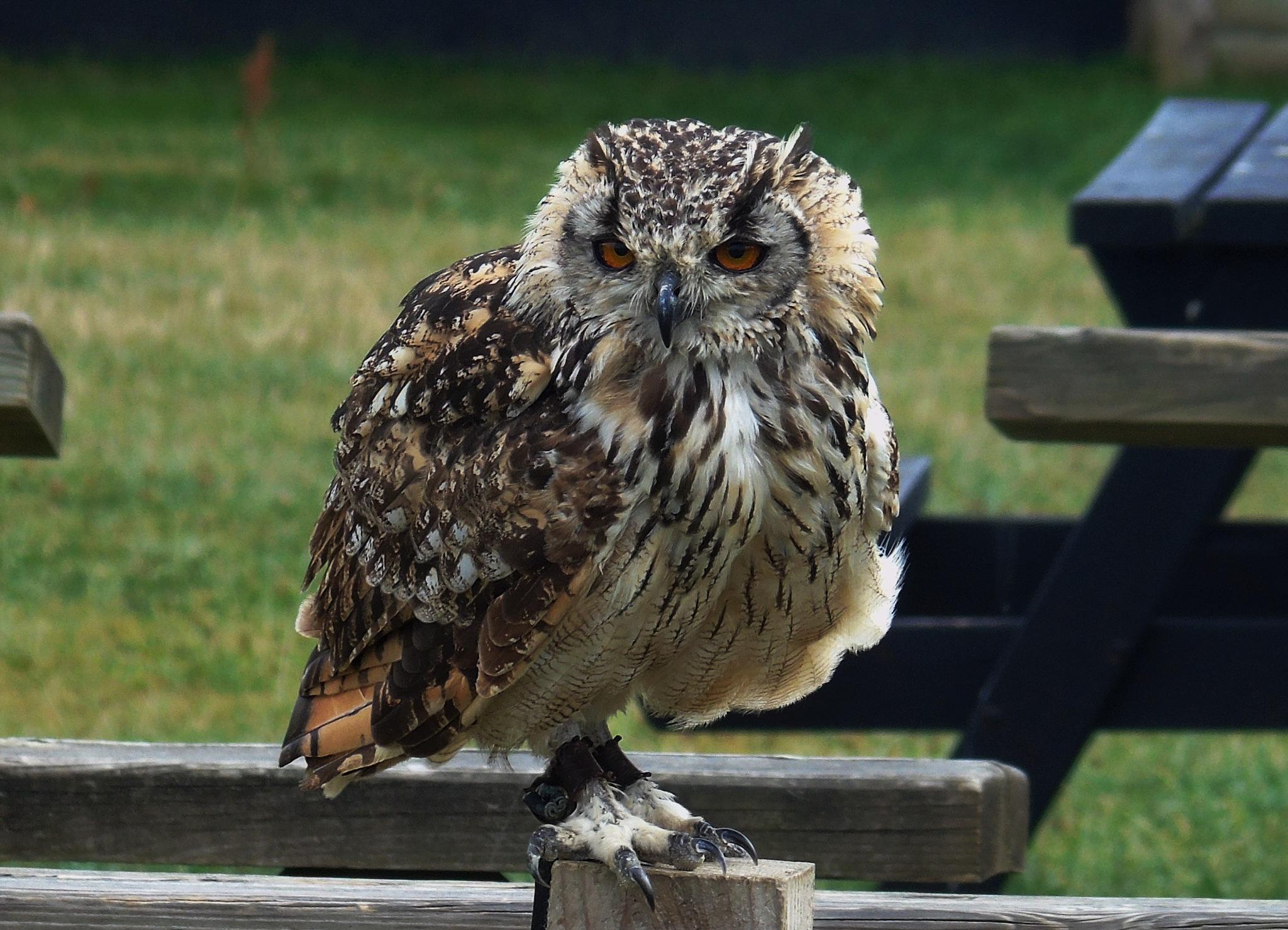 Owl 3 by Karen Brooks